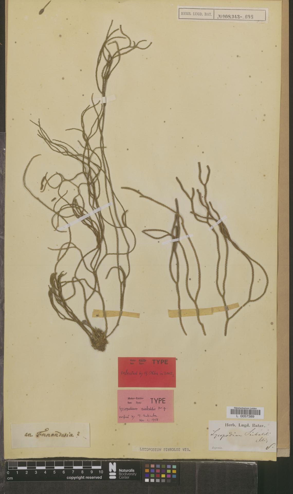 L  0057389 | Lycopodium sieboldi Miq.