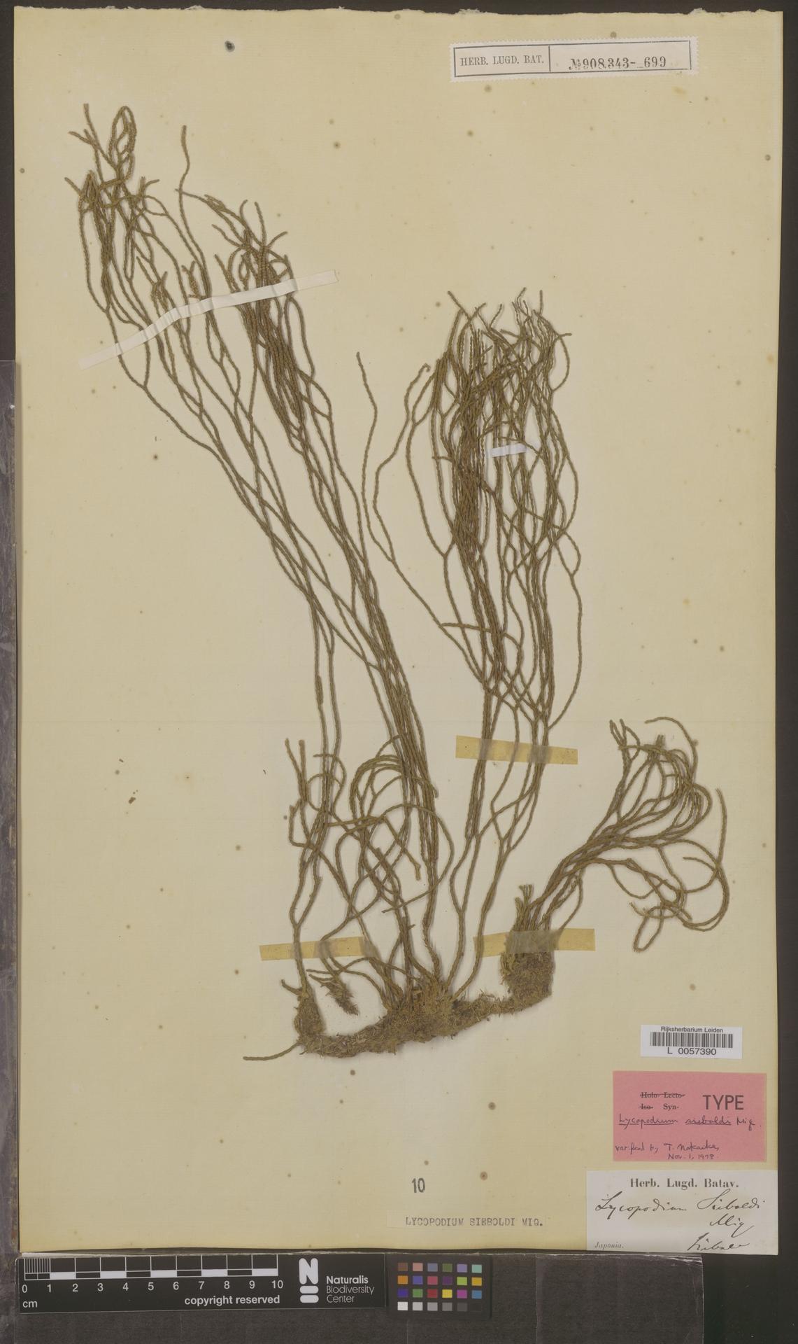 L  0057390 | Lycopodium sieboldi Miq.