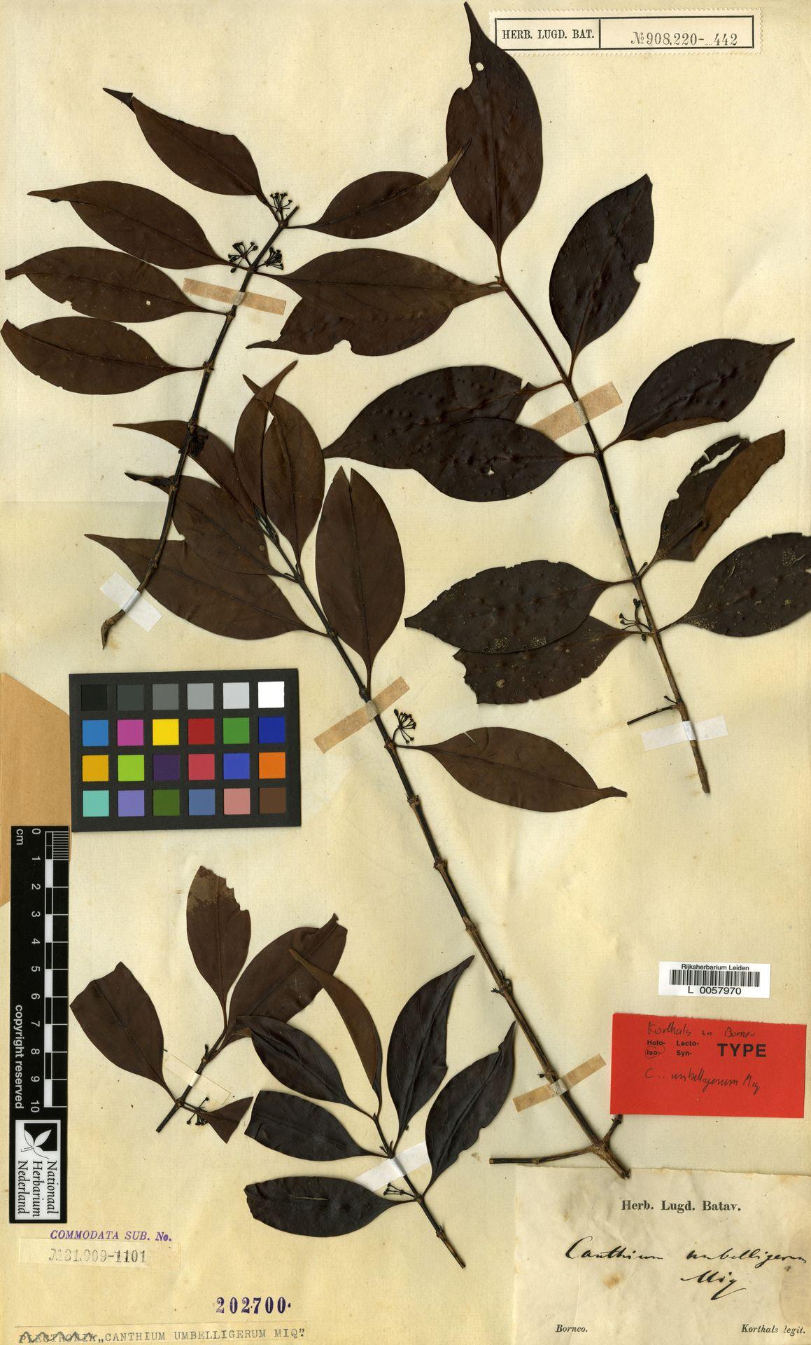 L  0057970 | Canthium umbelligerum Miq.