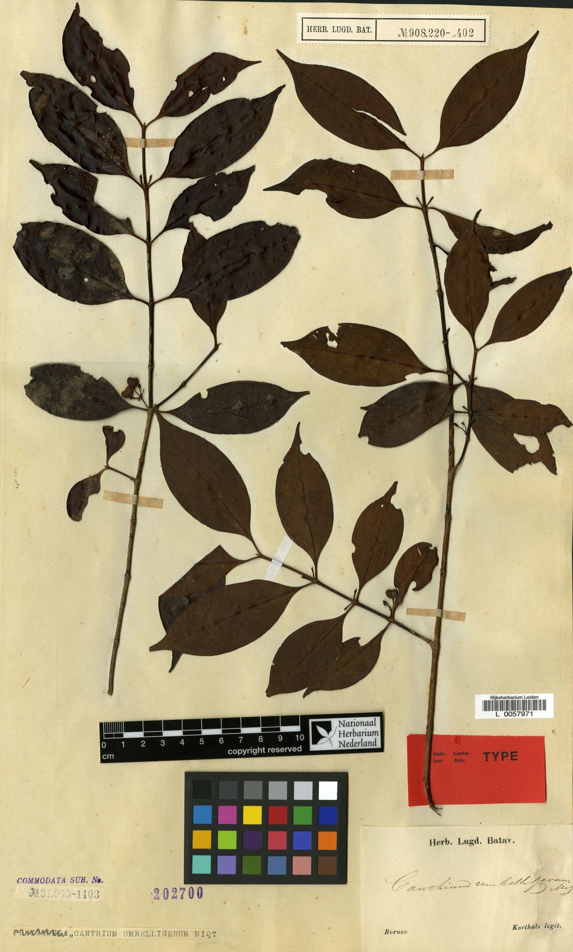 L  0057971 | Canthium umbelligerum Miq.