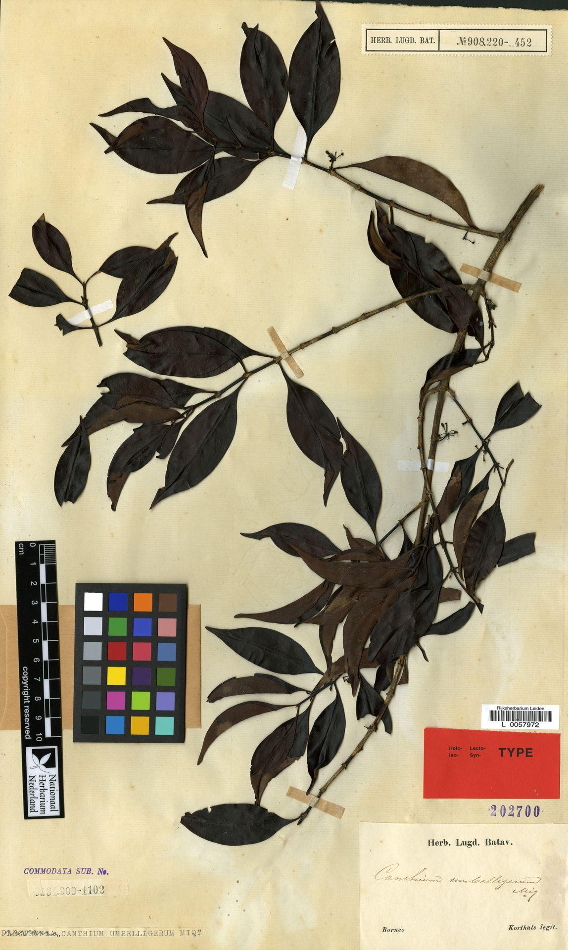 L  0057972 | Canthium umbelligerum Miq.