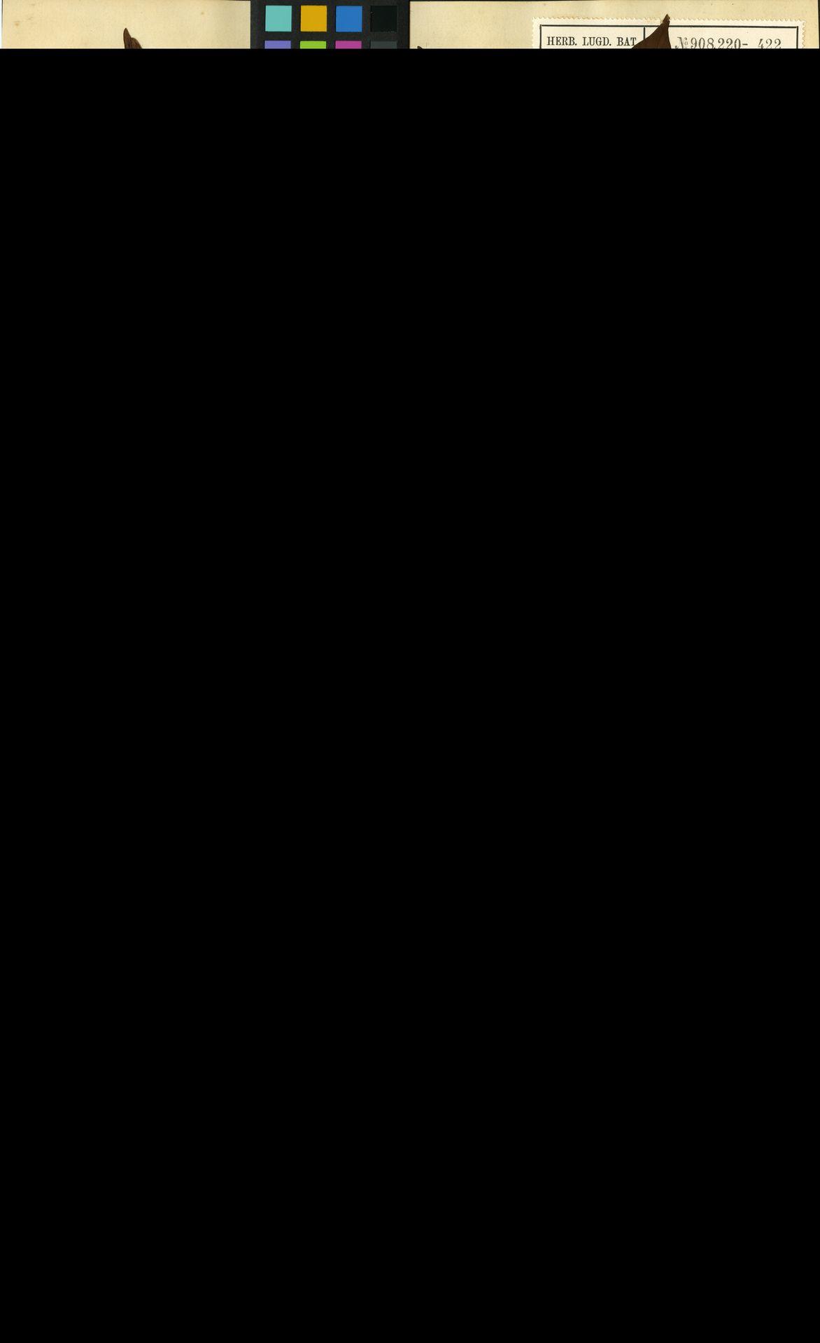 L  0057974 | Canthium umbelligerum Miq.