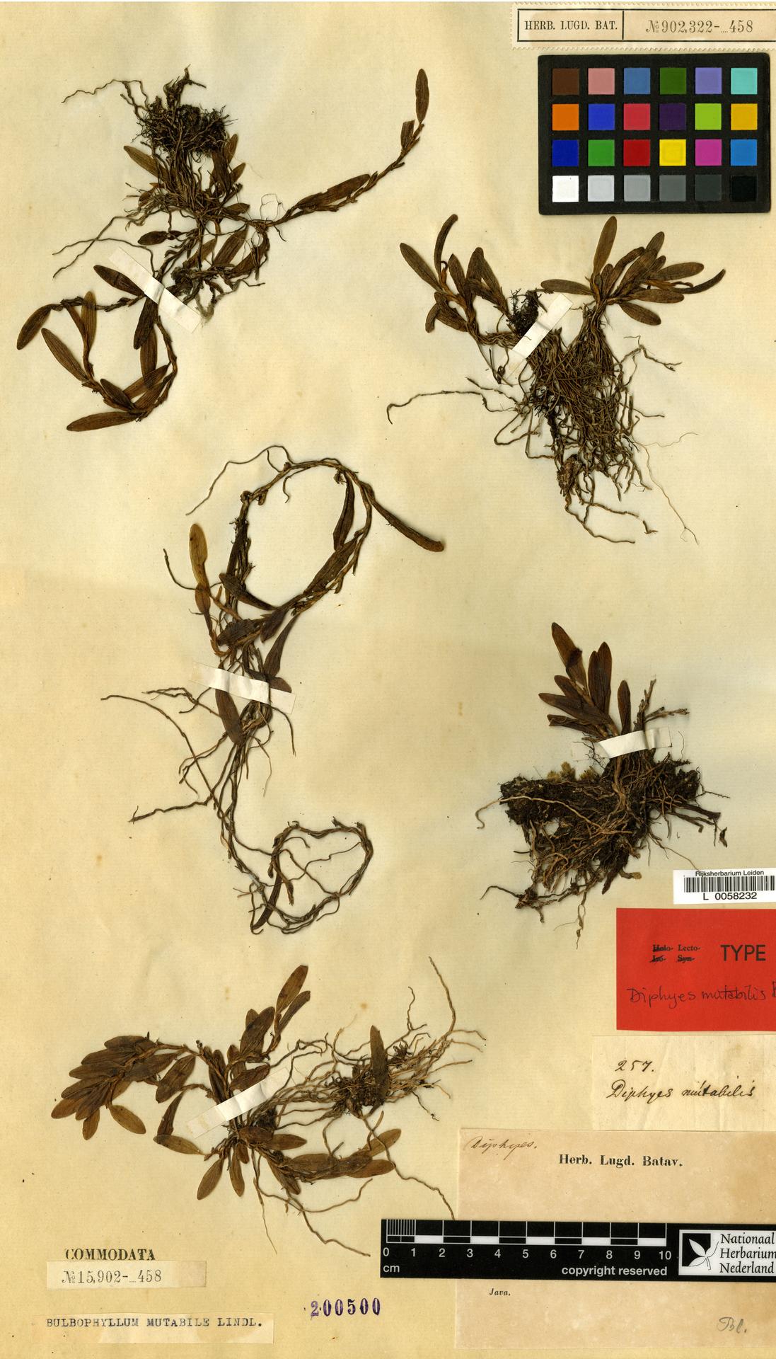 L  0058232 | Bulbophyllum mutabile (Blume) Lindl.