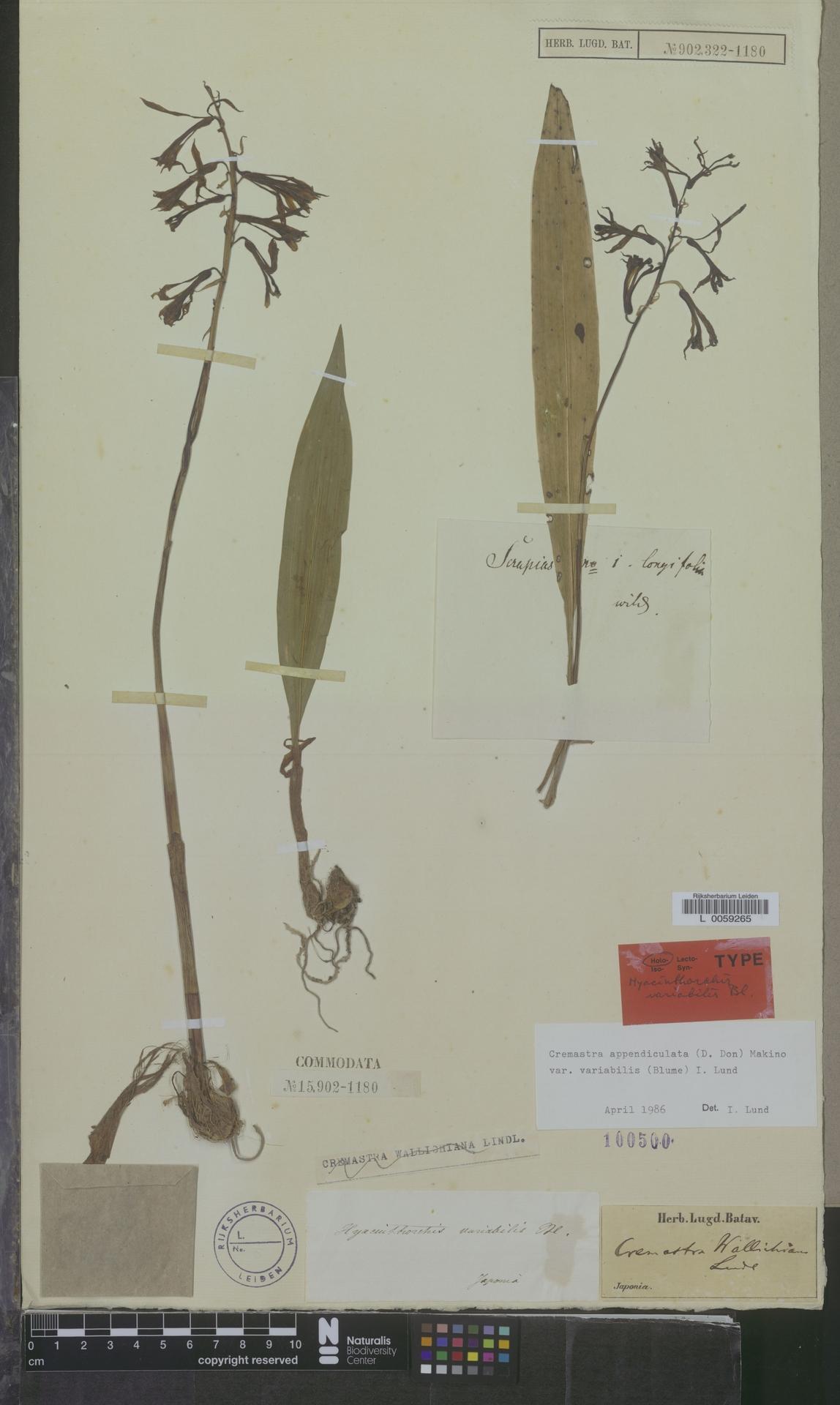 L  0059265 | Cremastra appendiculata var. variabilis (Blume) I.D.Lund