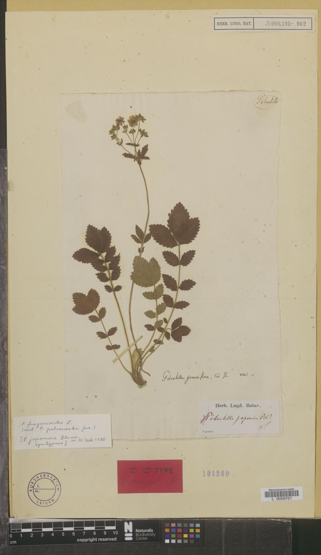 L  0059751 | Potentilla fagrarioides L.