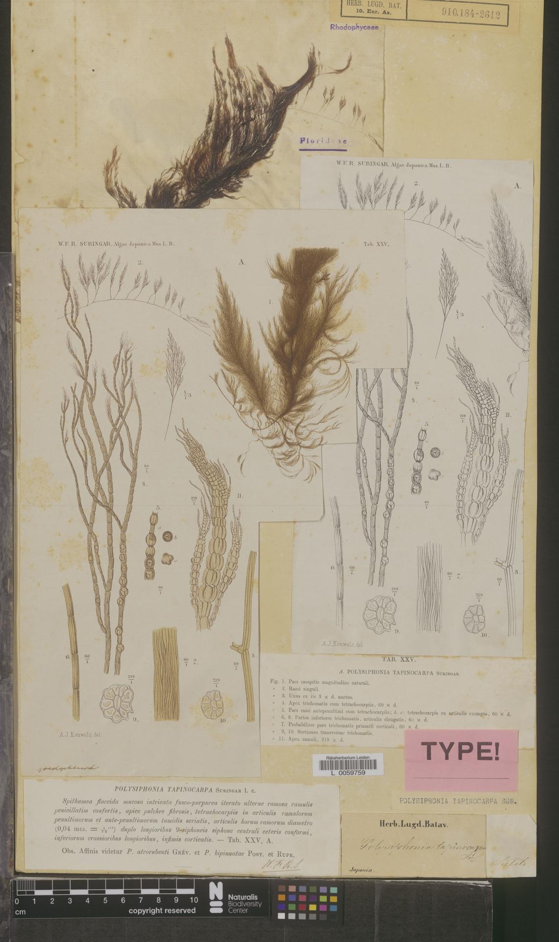 L  0059759 | Polysiphonia tapinocarpa Suringar