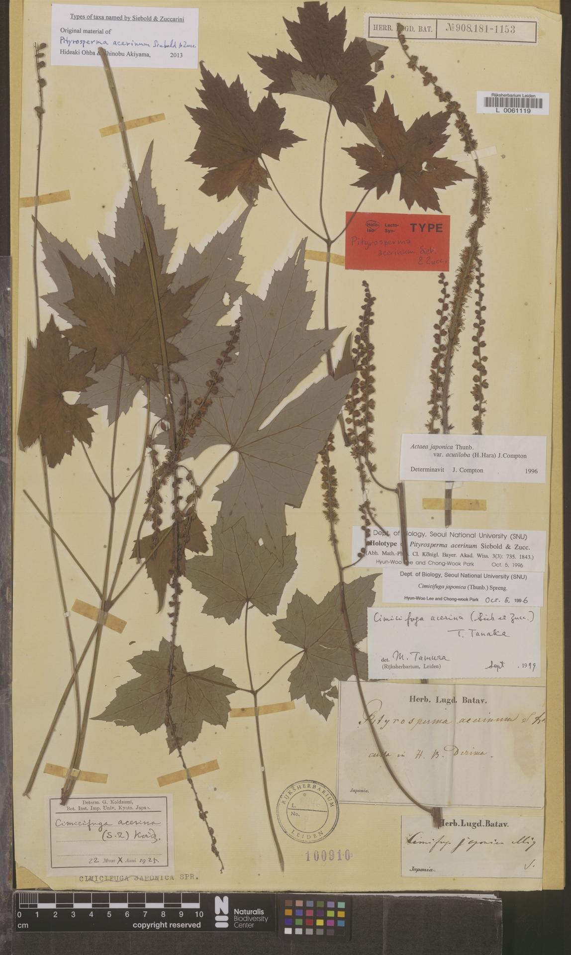 L  0061119   Actaea japonica var. acutiloba (H.Hara) J.Compton
