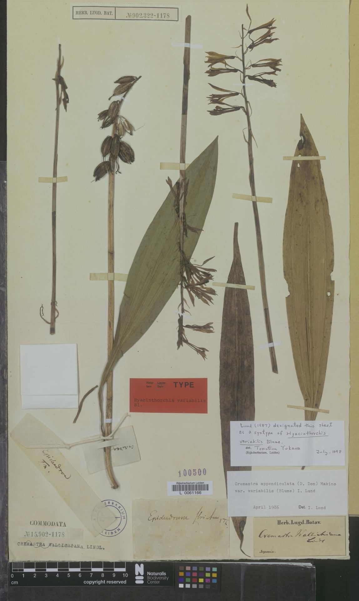 L  0061166 | Cremastra appendiculata var. variabilis (Blume) I.D.Lund