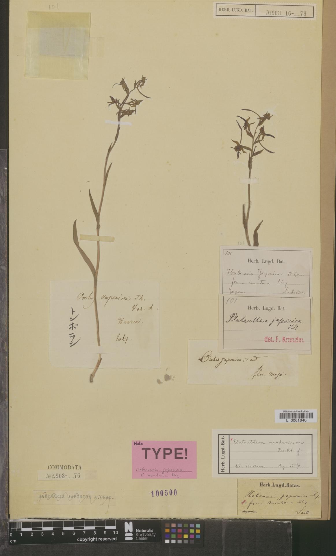 L  0061640   Platanthera mandarinorum Rchb.f.