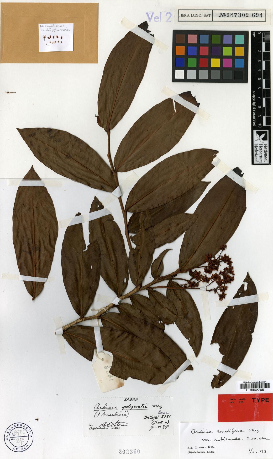 L  0062766 | Ardisia caudifera var. rubieunda C.M.Hu
