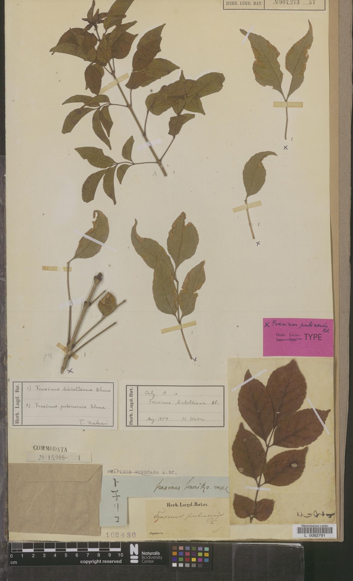 L  0062791 | Fraxinus pubinervis Blume