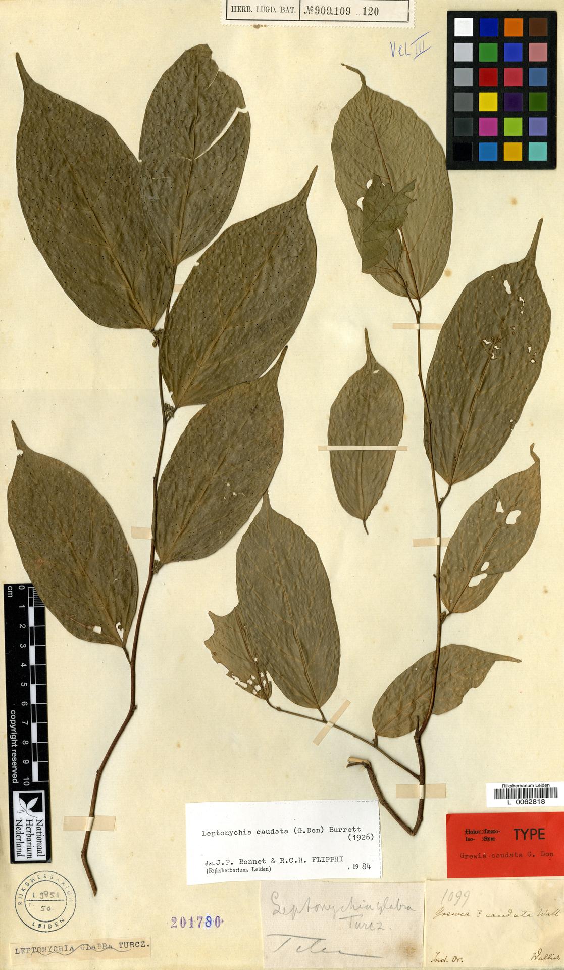 L  0062818 | Leptonychia caudata (Don) Burret