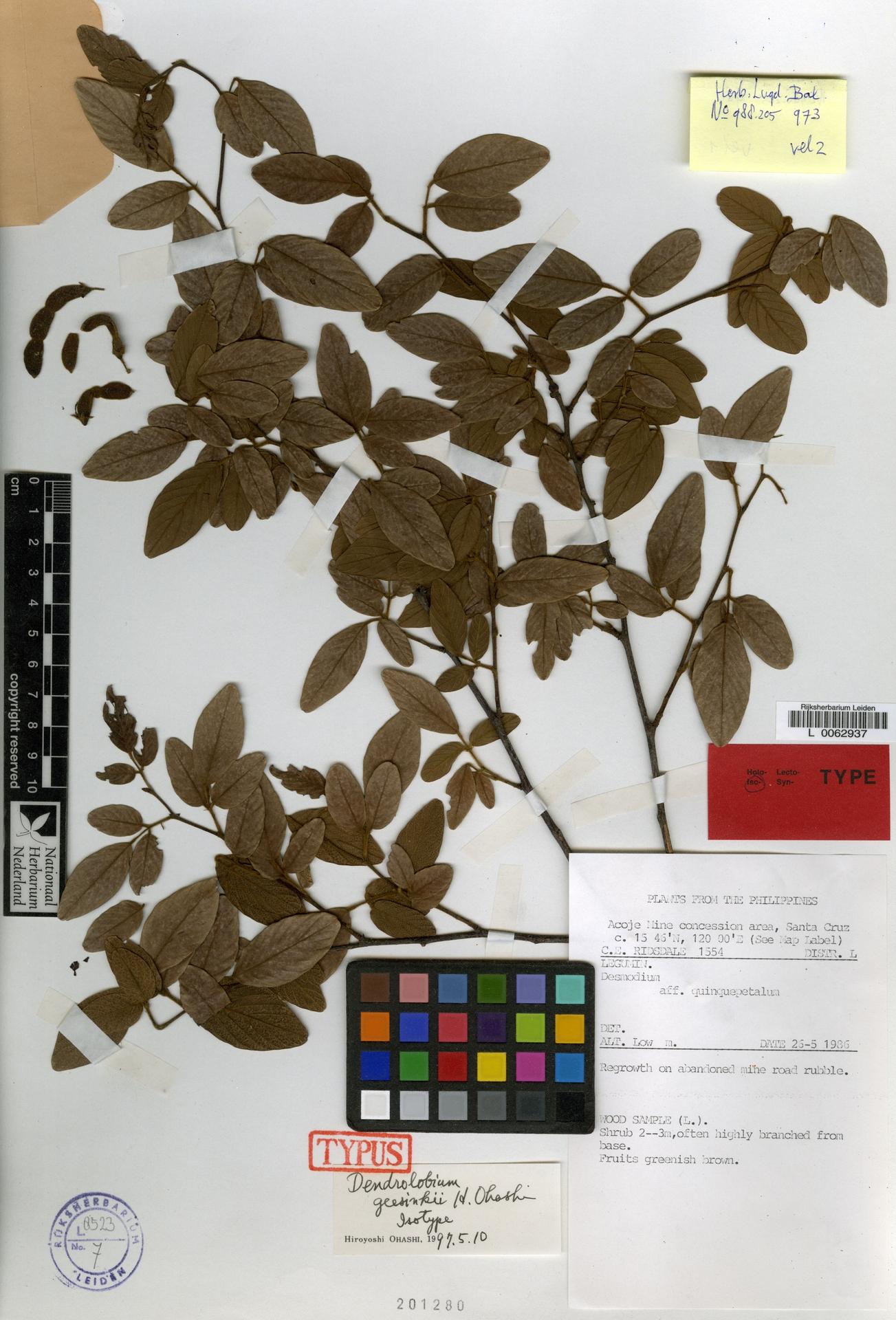 L  0062937 | Dendrolobium geesinkii Ohashi