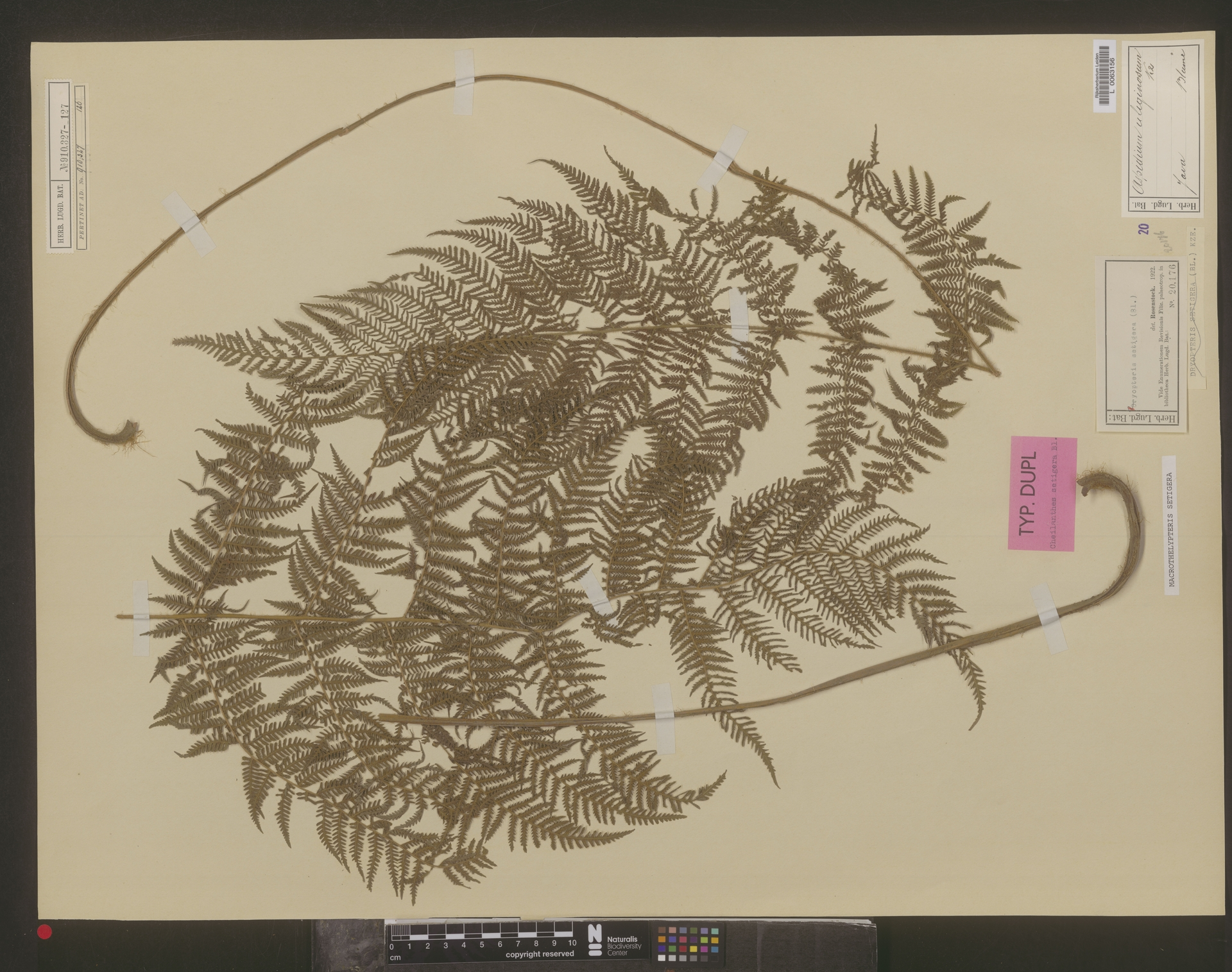 L  0063156 | Macrothelypteris setigera (Blume) Ching