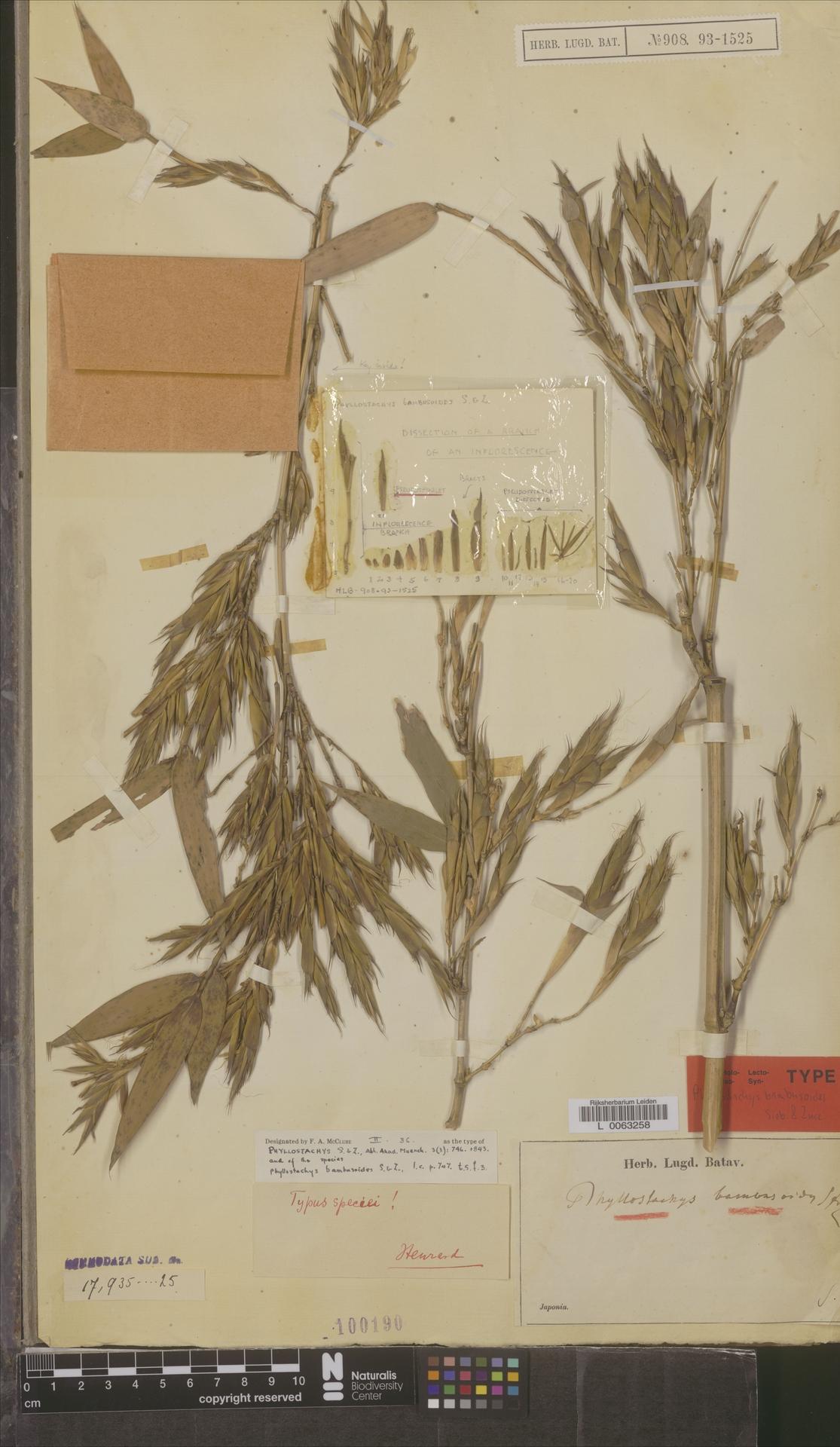L  0063258 | Phyllostachys bambusoides Siebold & Zucc.