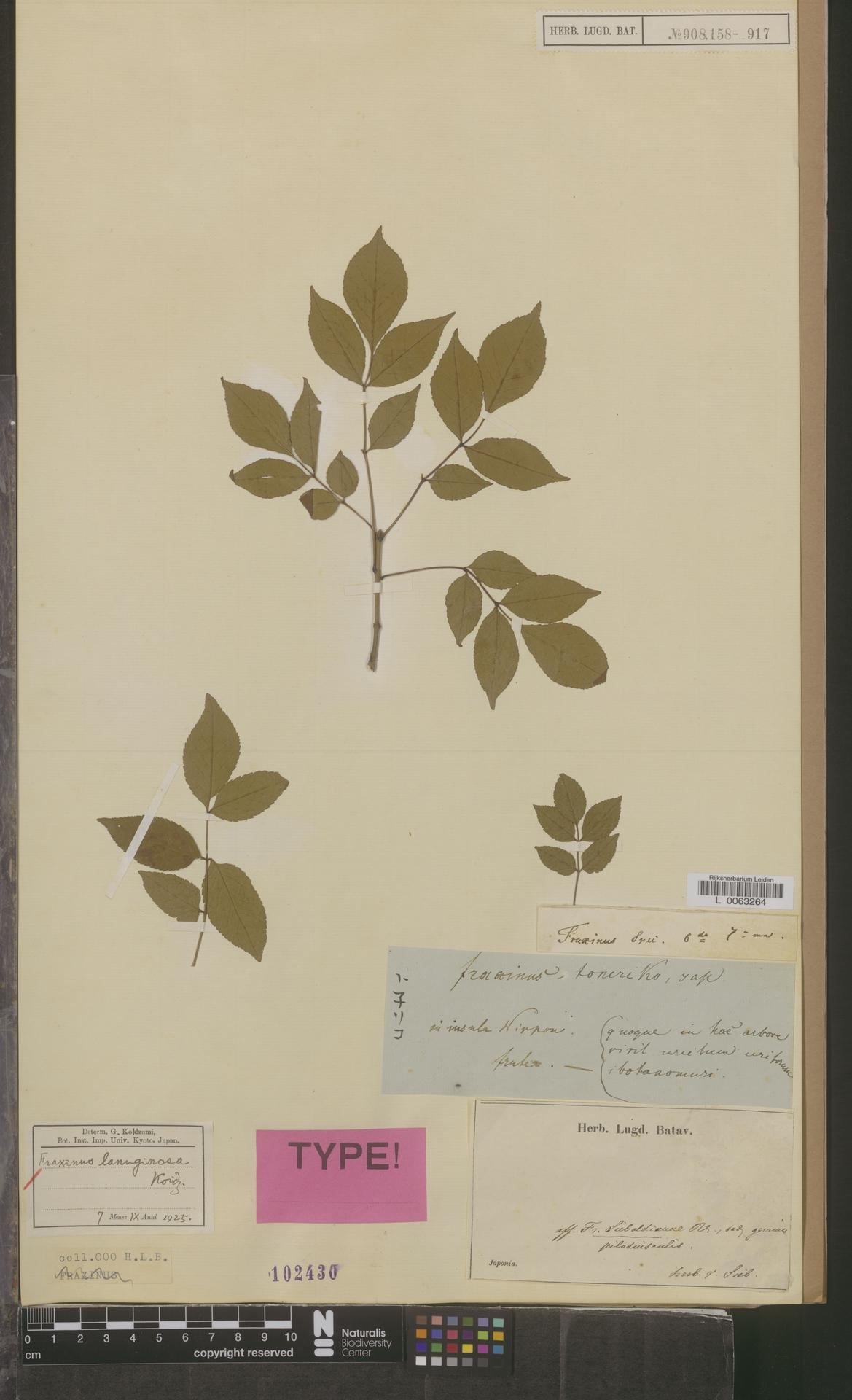 L  0063264 | Fraxinus lanuginosa Koidz.