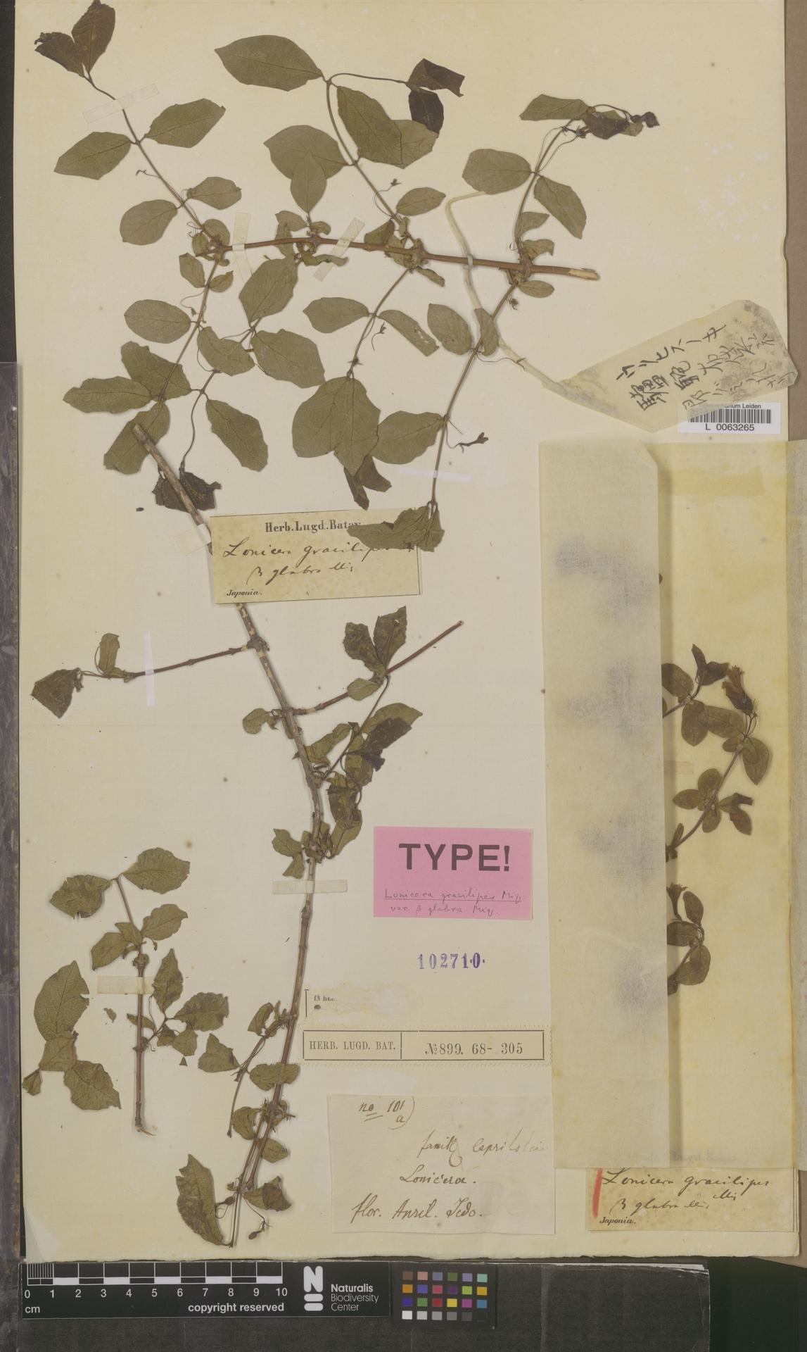 L  0063265 | Lonicera gracilipes var. glabra Miq.