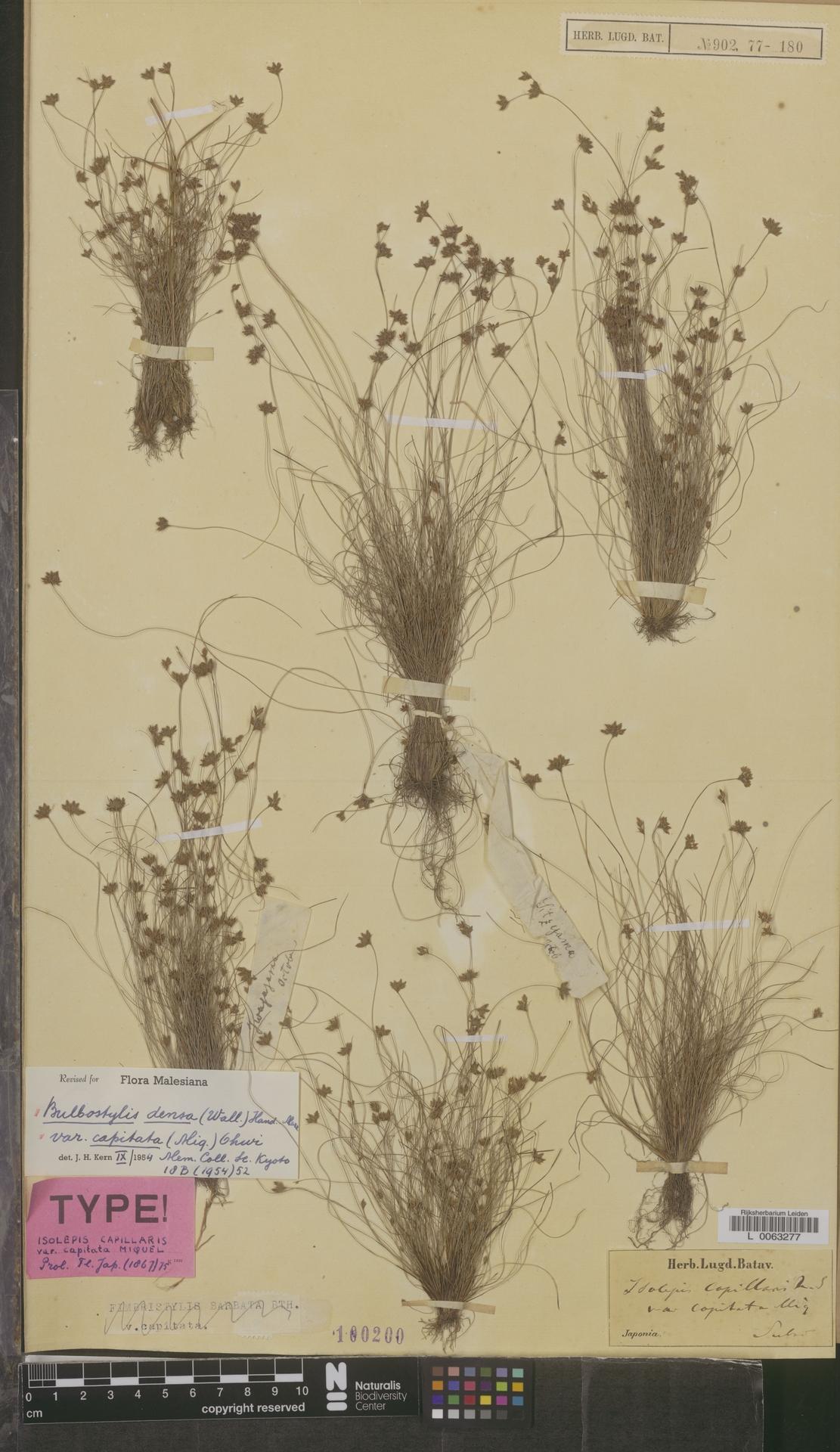 L  0063277 | Bulbostylis densa var. capitata (Miq.) Ohwi