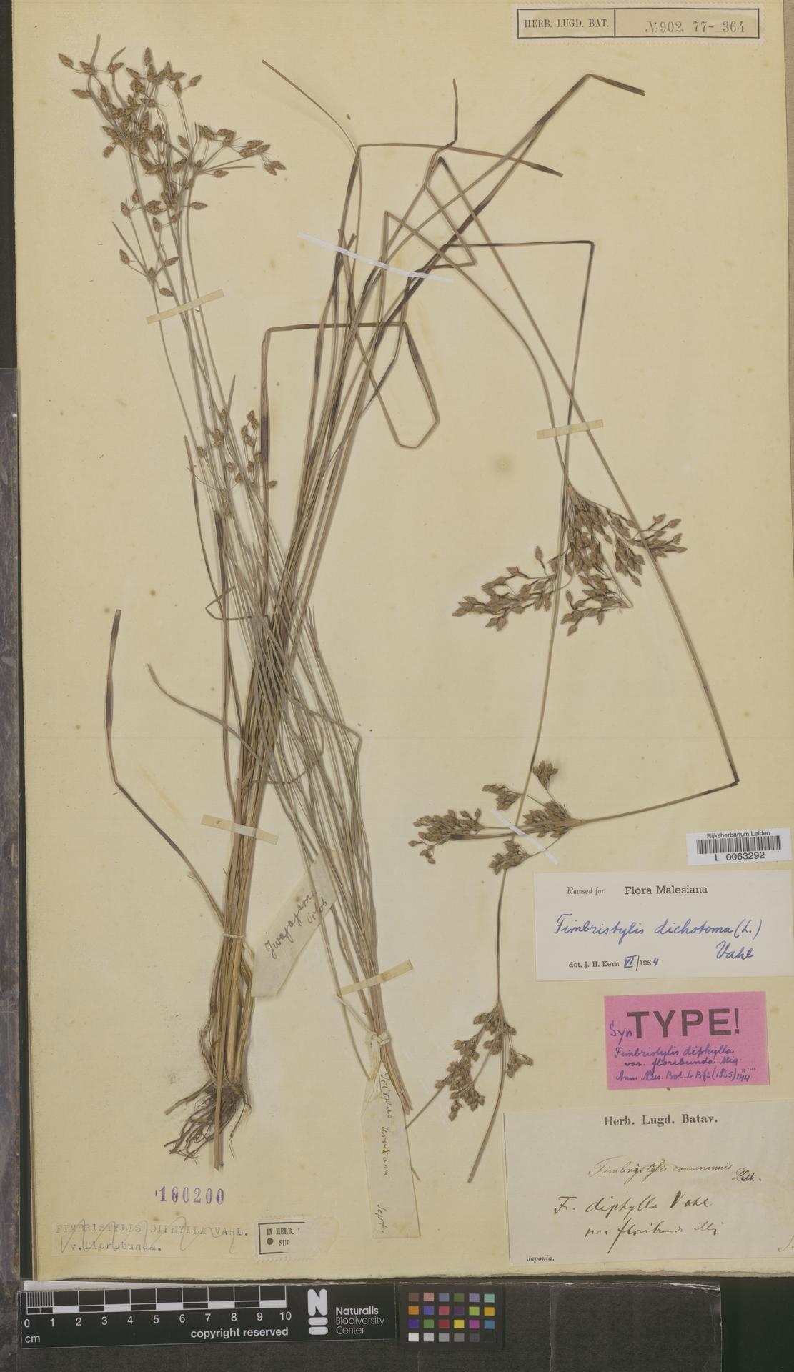 L  0063292 | Fimbristylis dichotoma (L.) Vahl