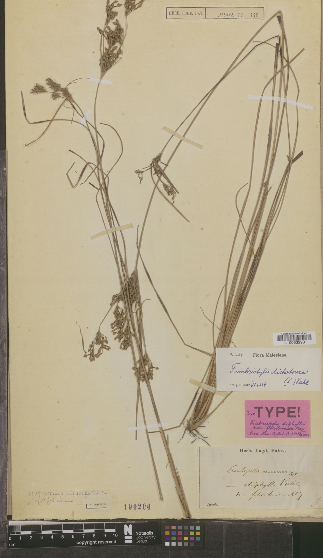 L  0063293 | Fimbristylis dichotoma (L.) Vahl