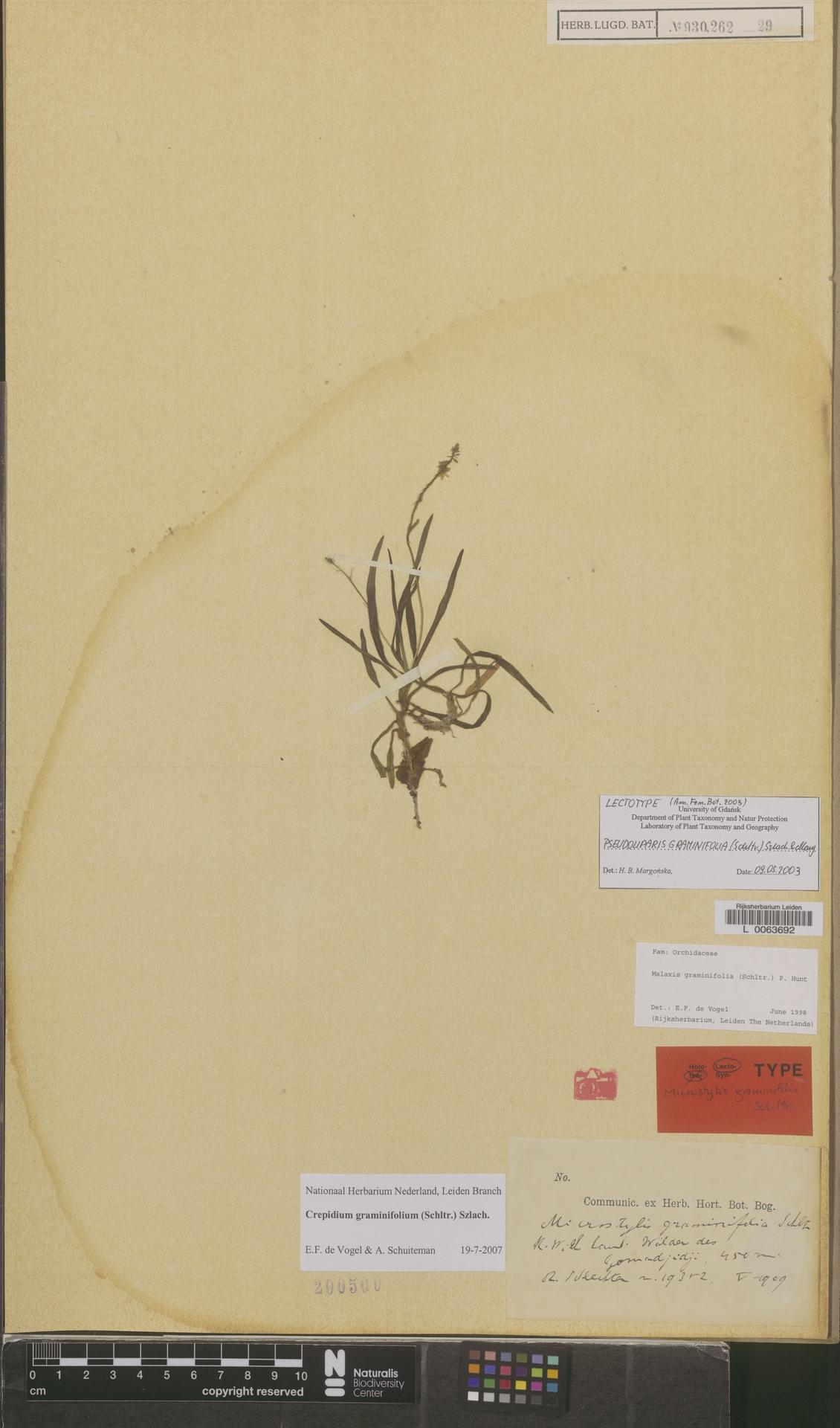 L  0063692 | Crepidium graminifolium (Schltr.) Szlach.