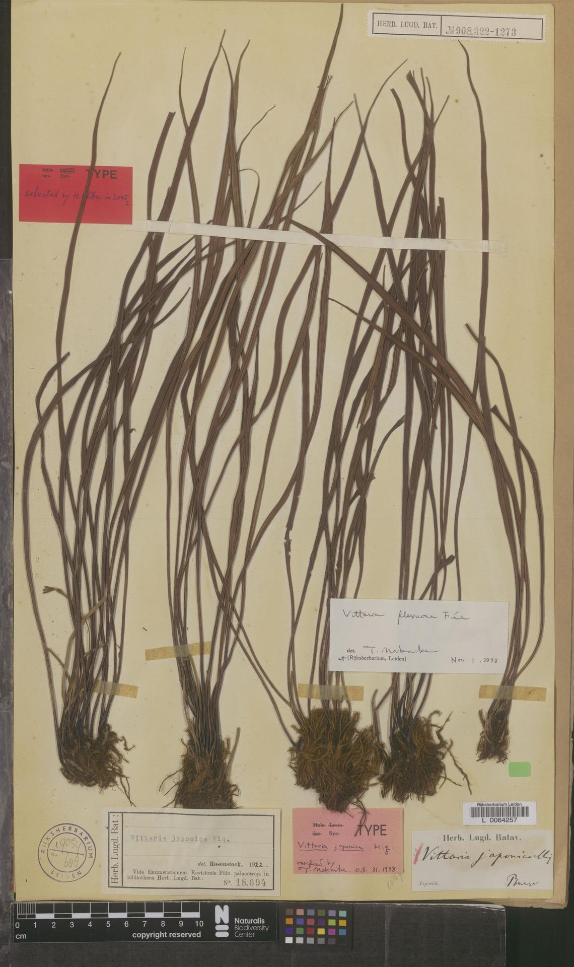 L  0064257 | Vittaria flexuosa Fée