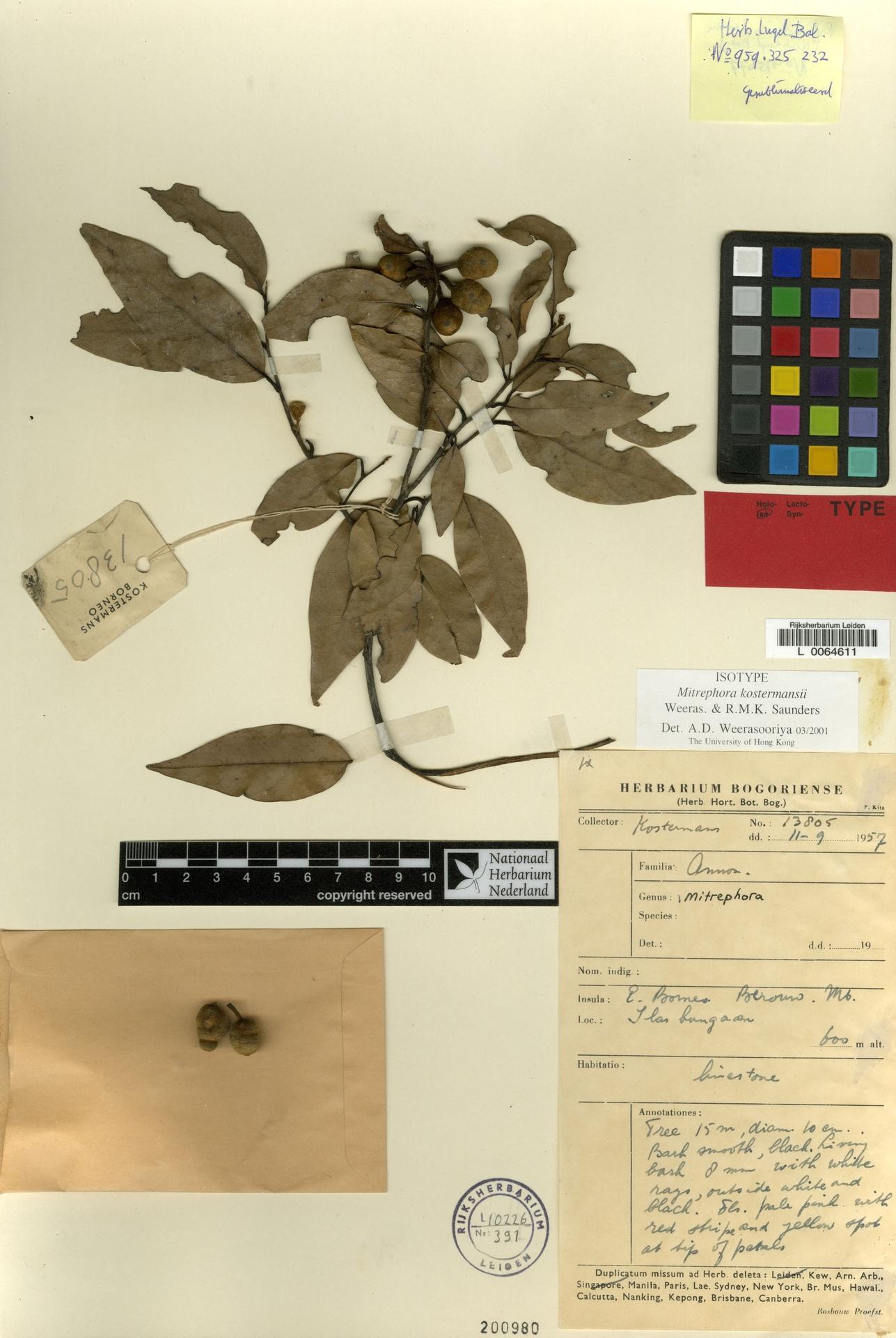 L  0064611 | Mitrephora kostermansii Weeras. & R.M.K.Saunders
