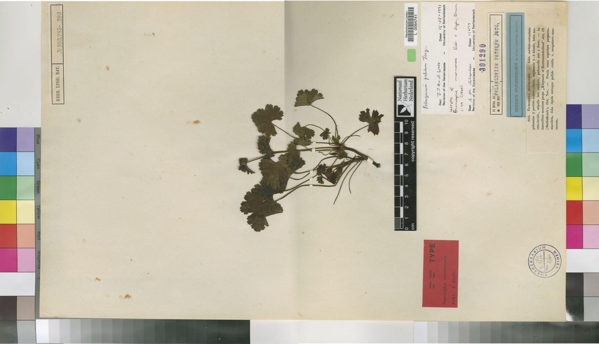 L  0064741 | Pelargonium patulum Jacq.