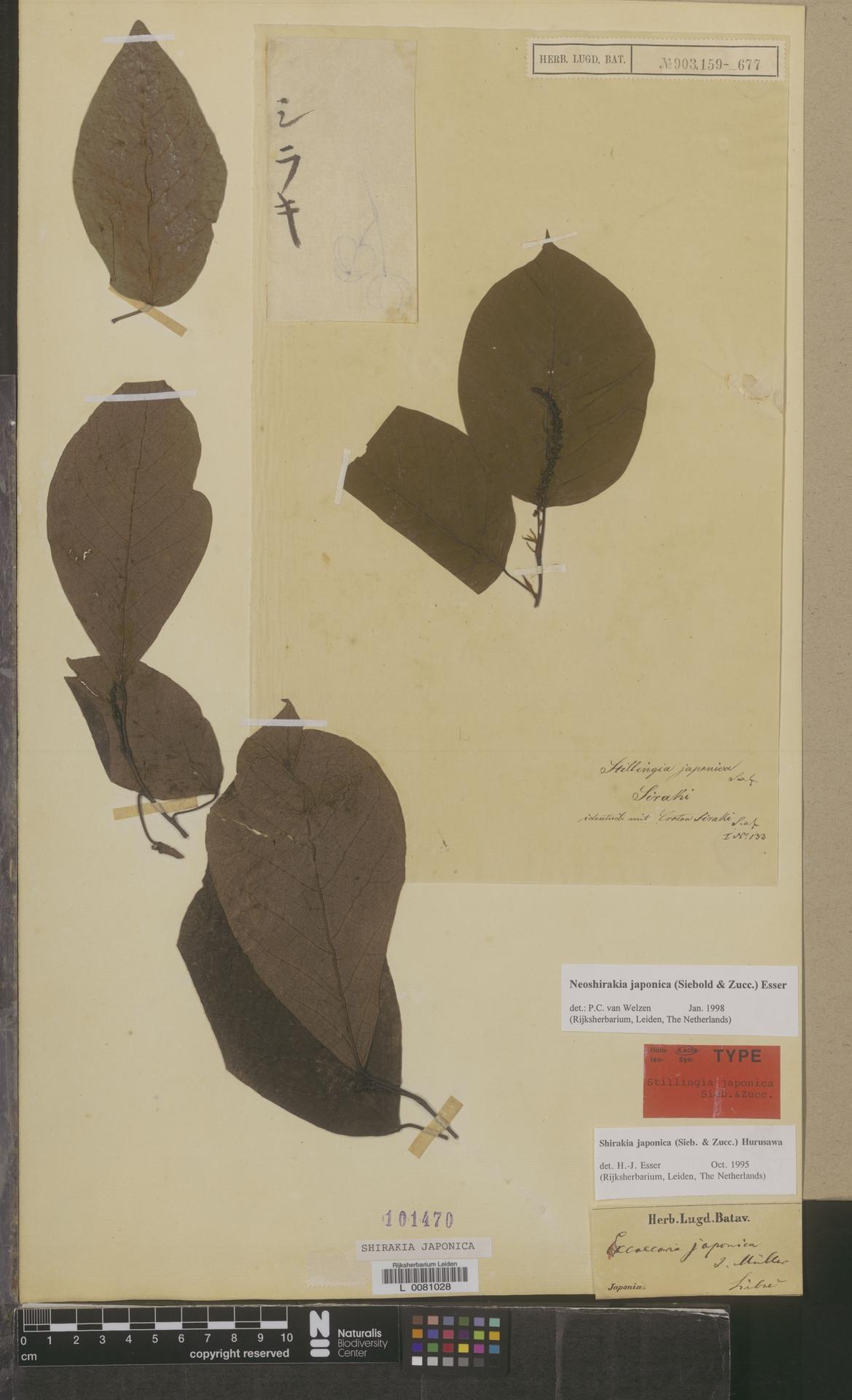 L  0081028 | Neoshirakia japonica (Siebold & Zucc.) Esser