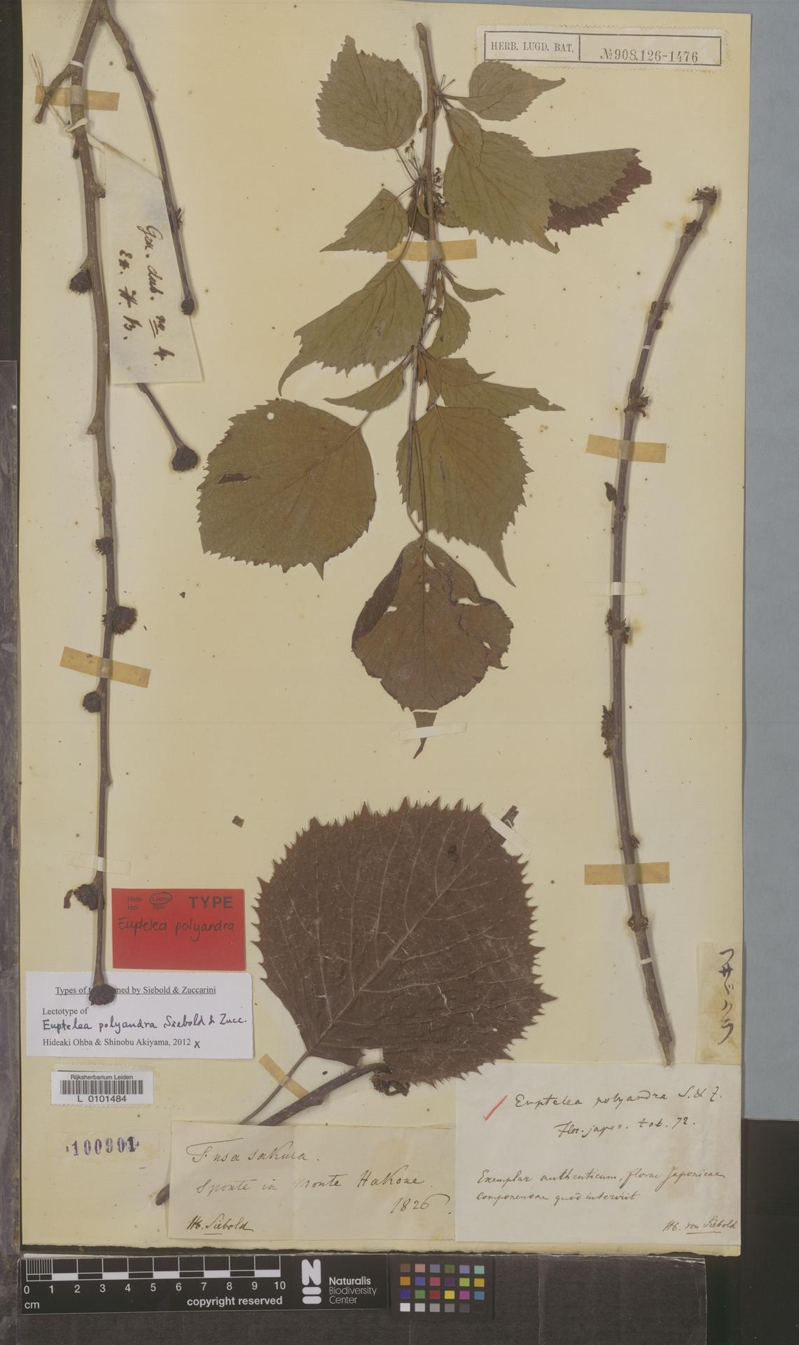 L  0101484 | Euptelea polyandra Siebold & Zucc.