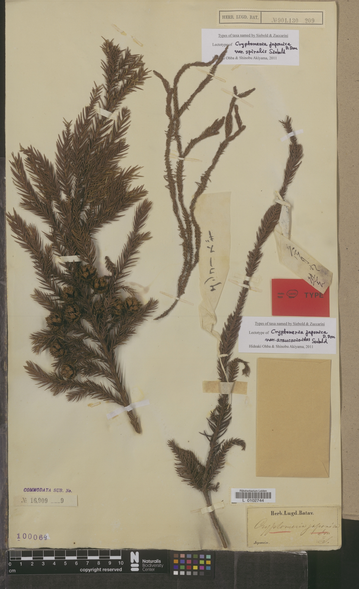 L  0102744 | Cryptomeria japonica (Thunb. ex L.f.) D.Don