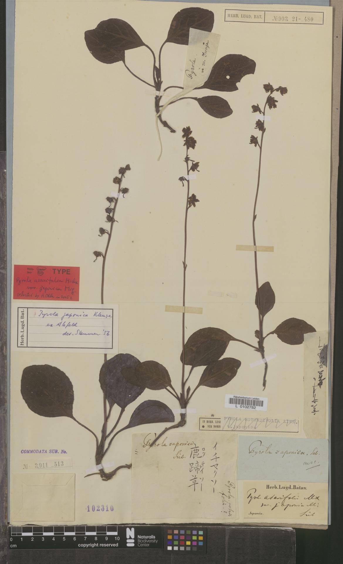 L  0102782   Pyrola japonica Klauze ex Alef.