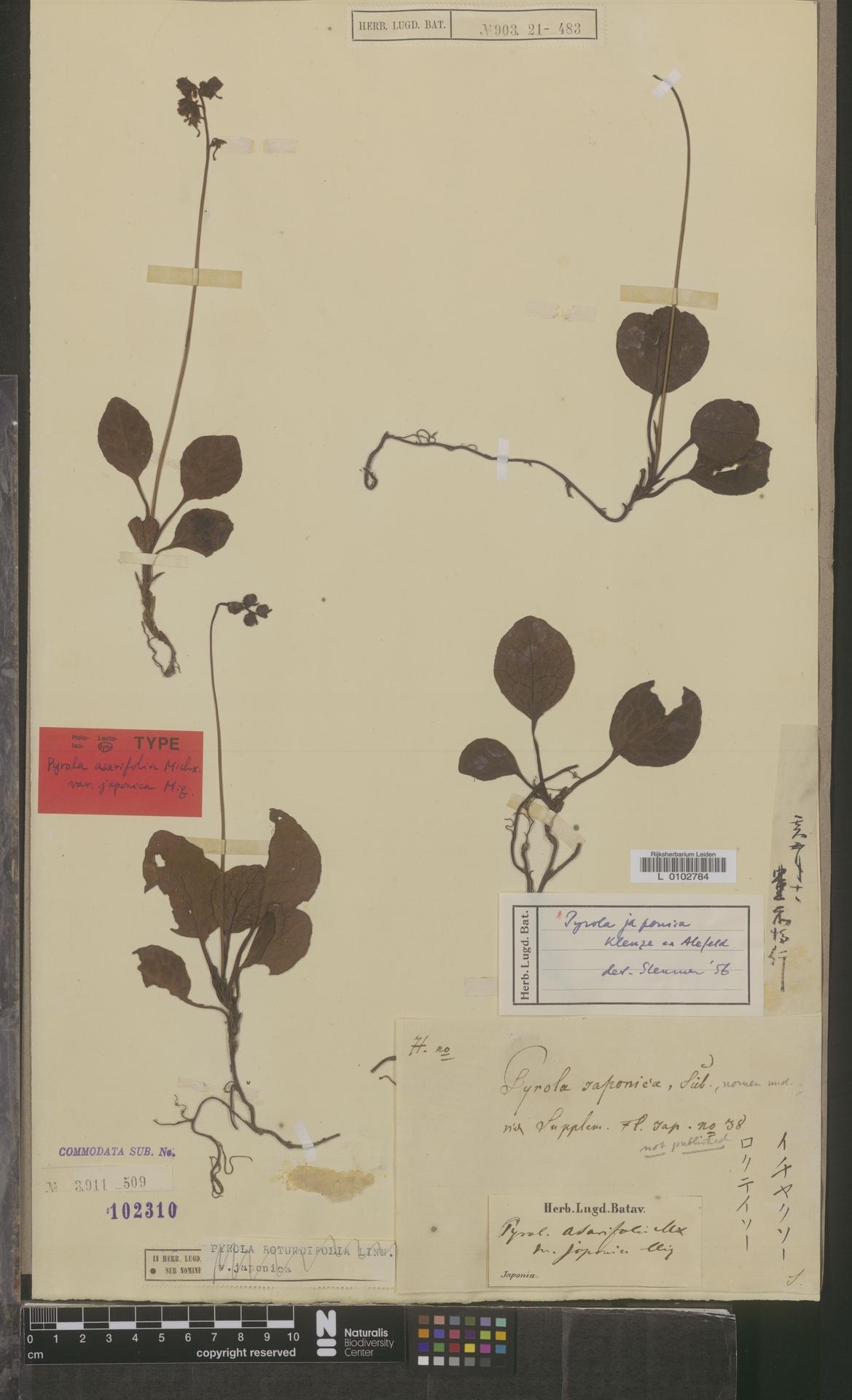 L  0102784 | Pyrola japonica Klauze ex Alef.