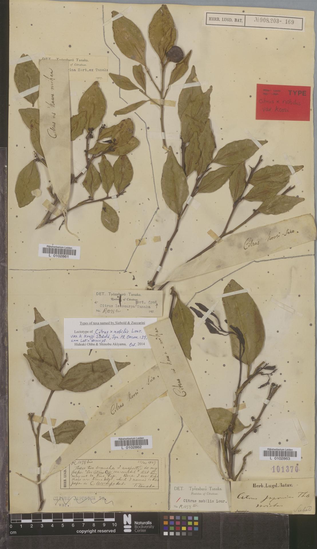 L  0102862 | Citrus leiocarpa Yu.Tanaka