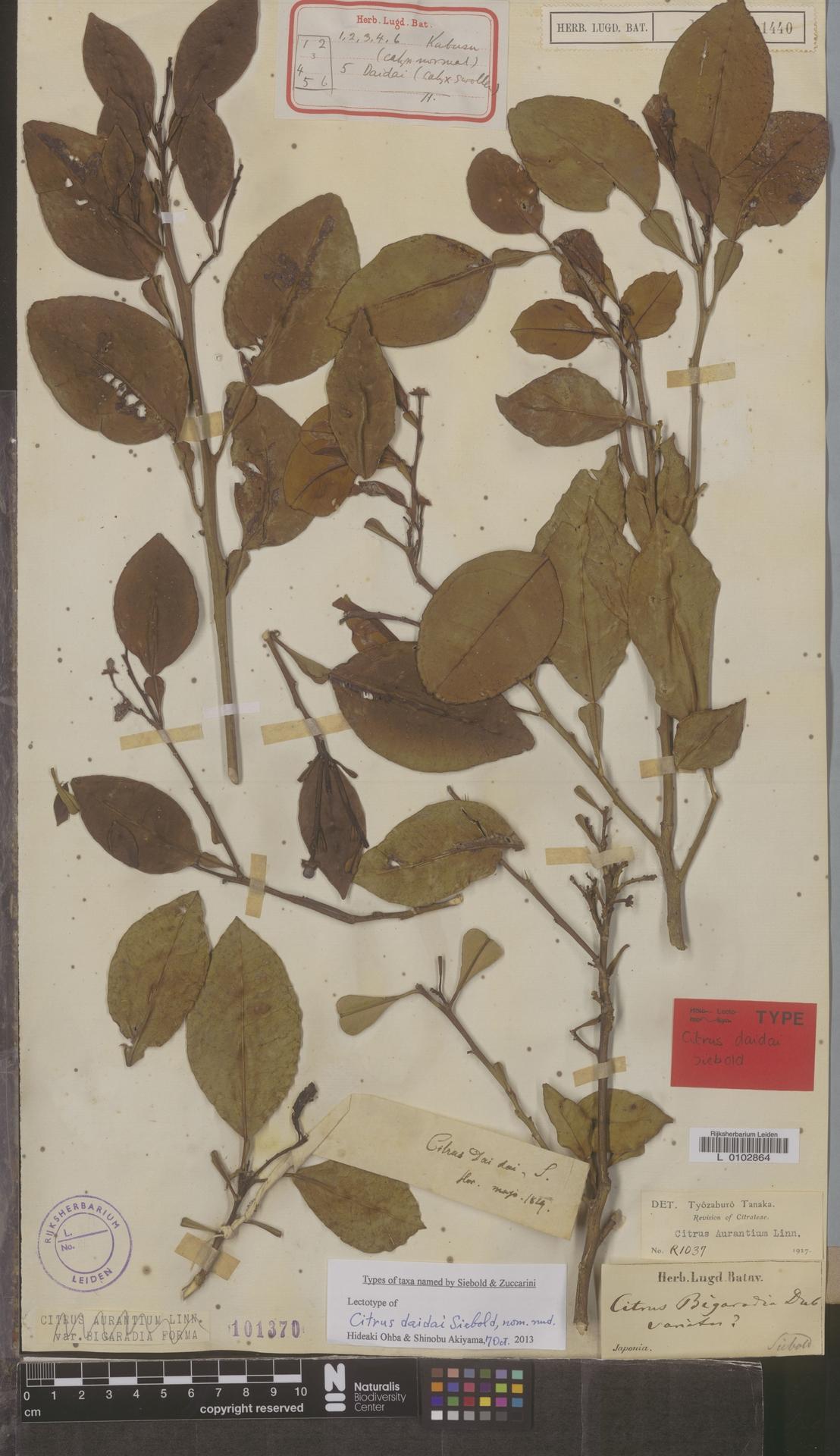 L  0102864 | Citrus ×aurantium L.