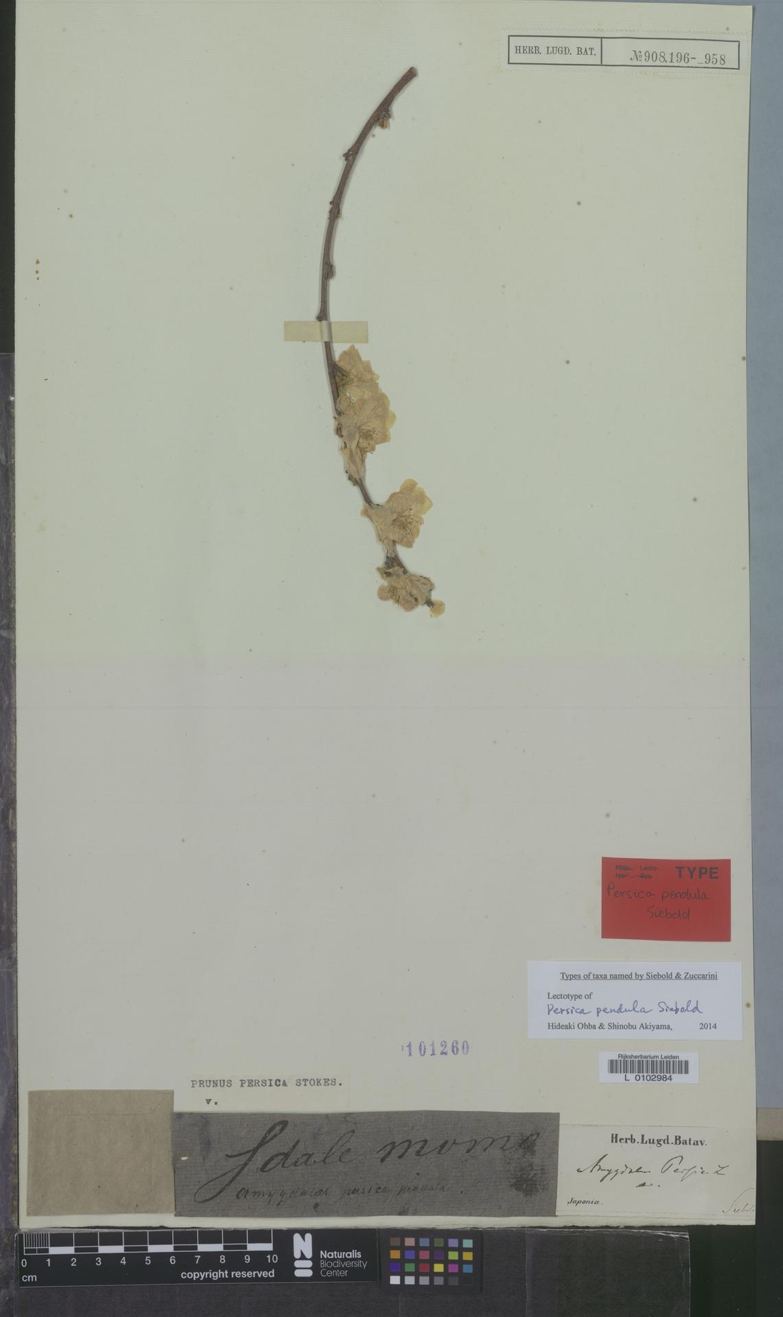 L  0102984 | Prunus persica (L.) Batsch