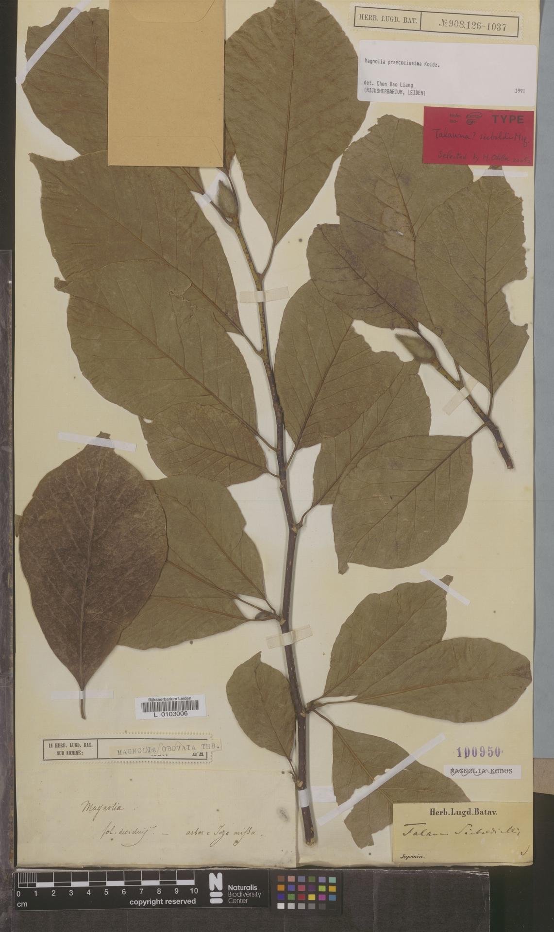 L  0103006 | Magnolia praecocissima Koidz.