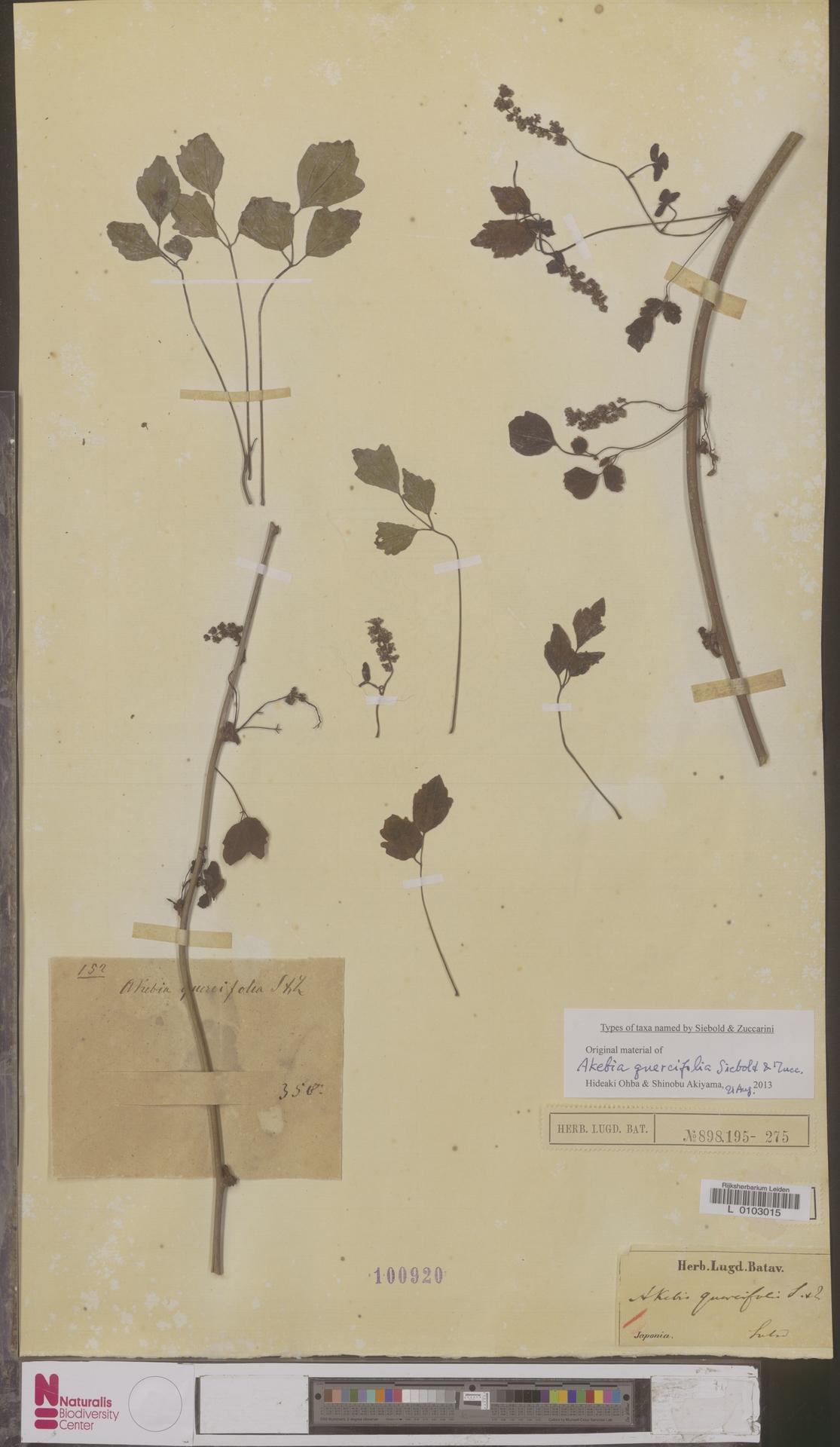 L  0103015 | Akebia quercifolia Siebold & Zucc.
