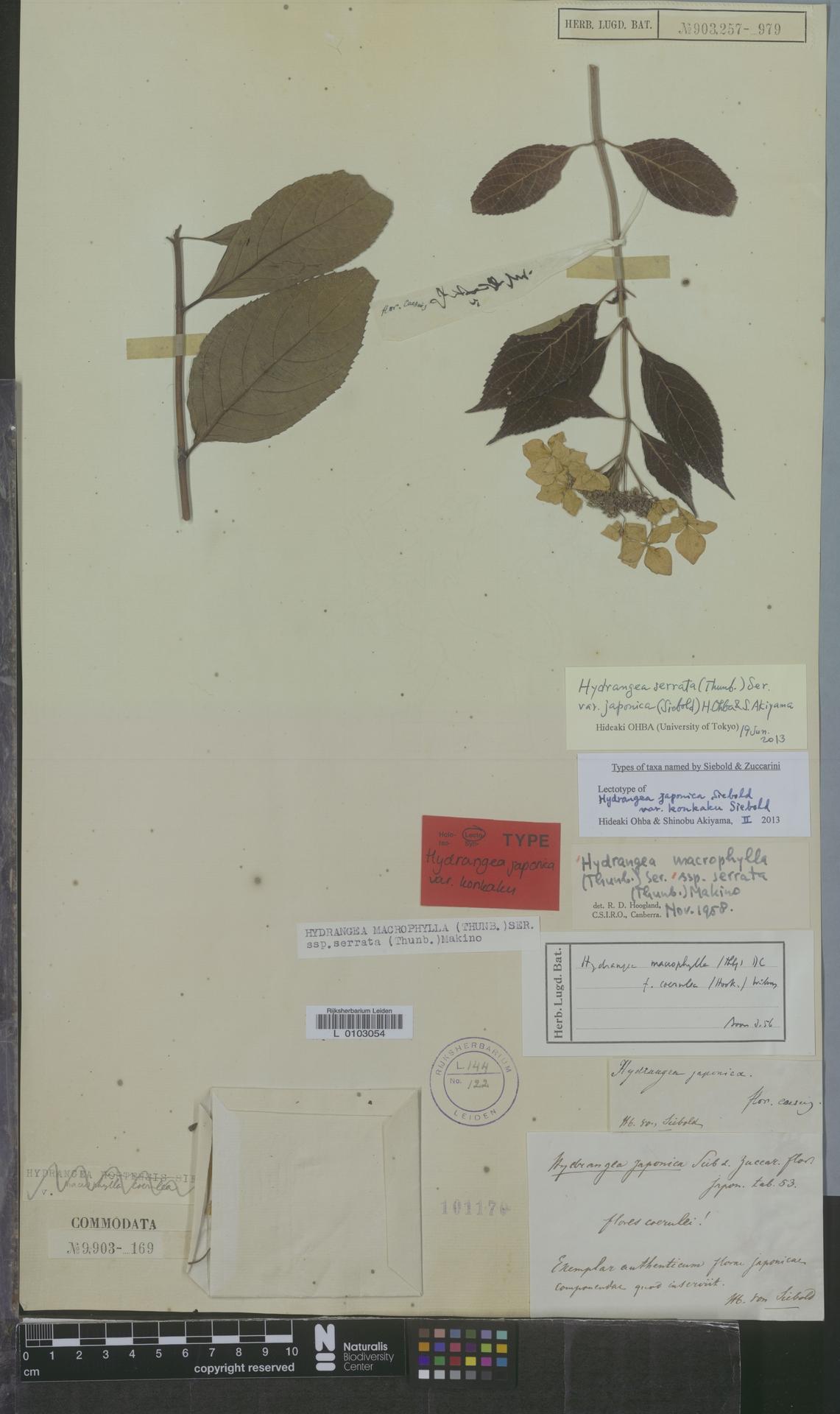 L  0103054 | Hydrangea serrata var. japonica (Siebold) H.Ohba & S.Akiyama