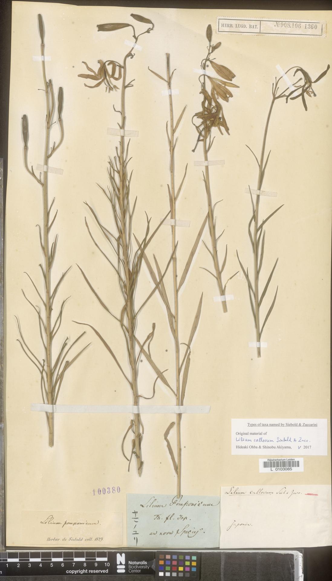 L  0103085 | Lilium callosum Siebold & Zucc.