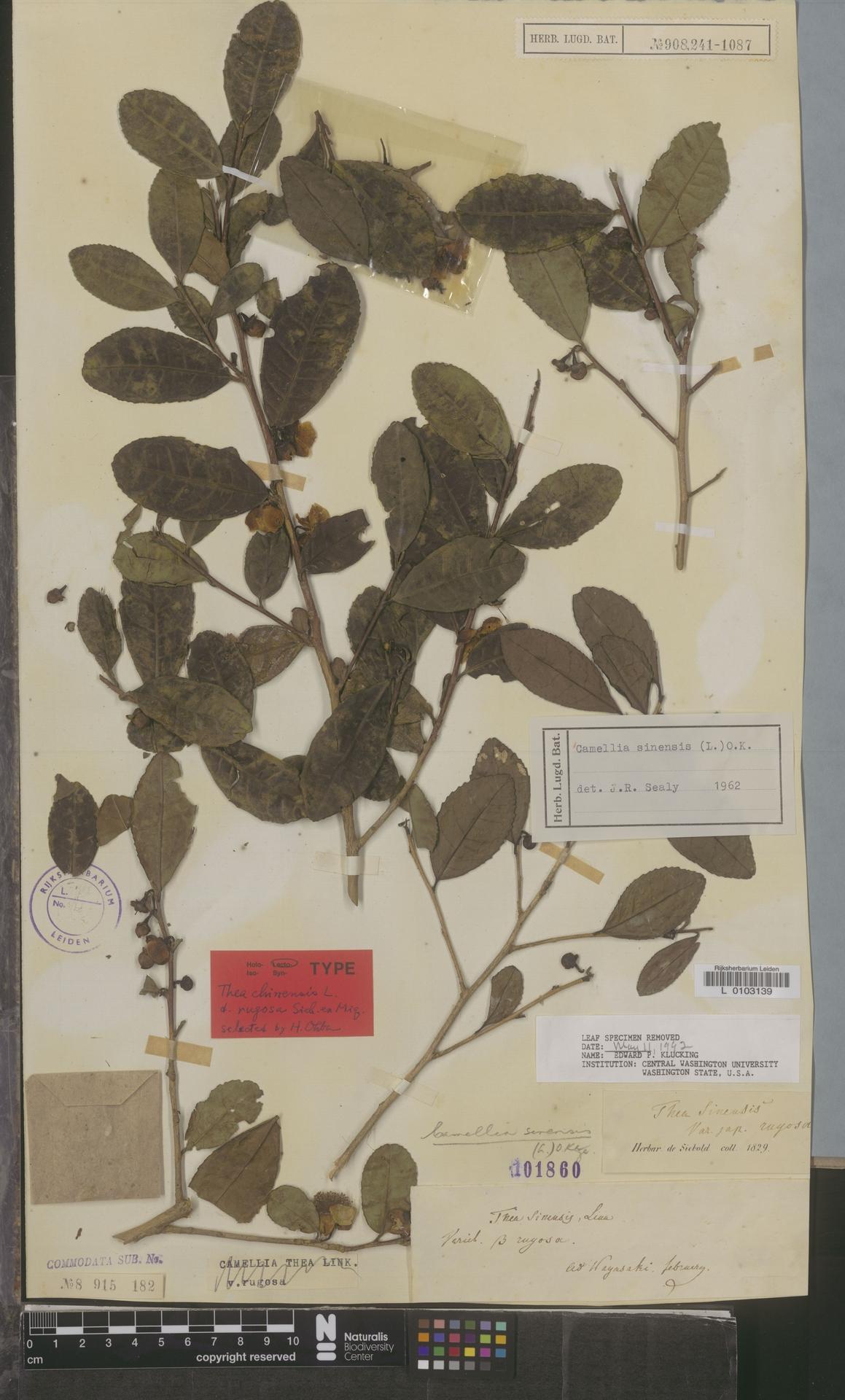 L  0103139   Camellia sinensis (L.) Kuntze