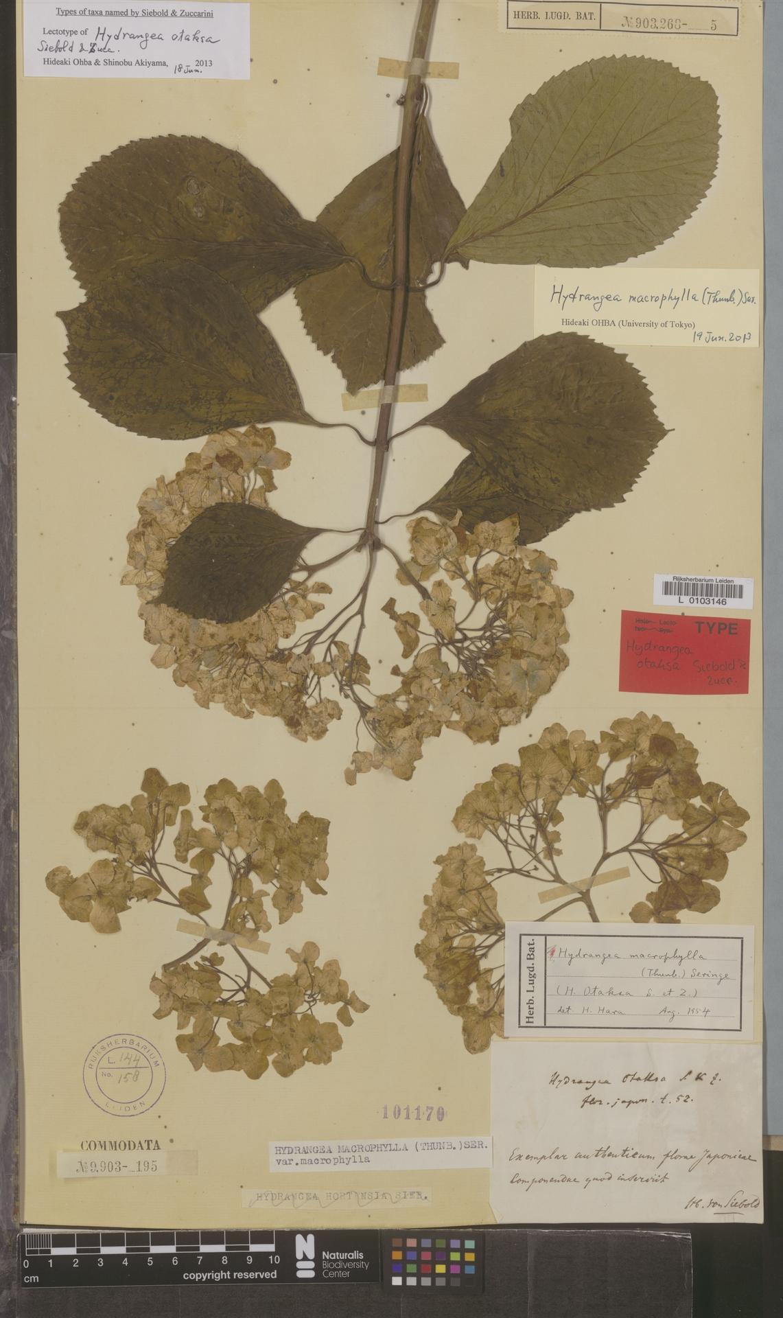 L  0103146 | Hydrangea macrophylla (Thunb.) Ser.