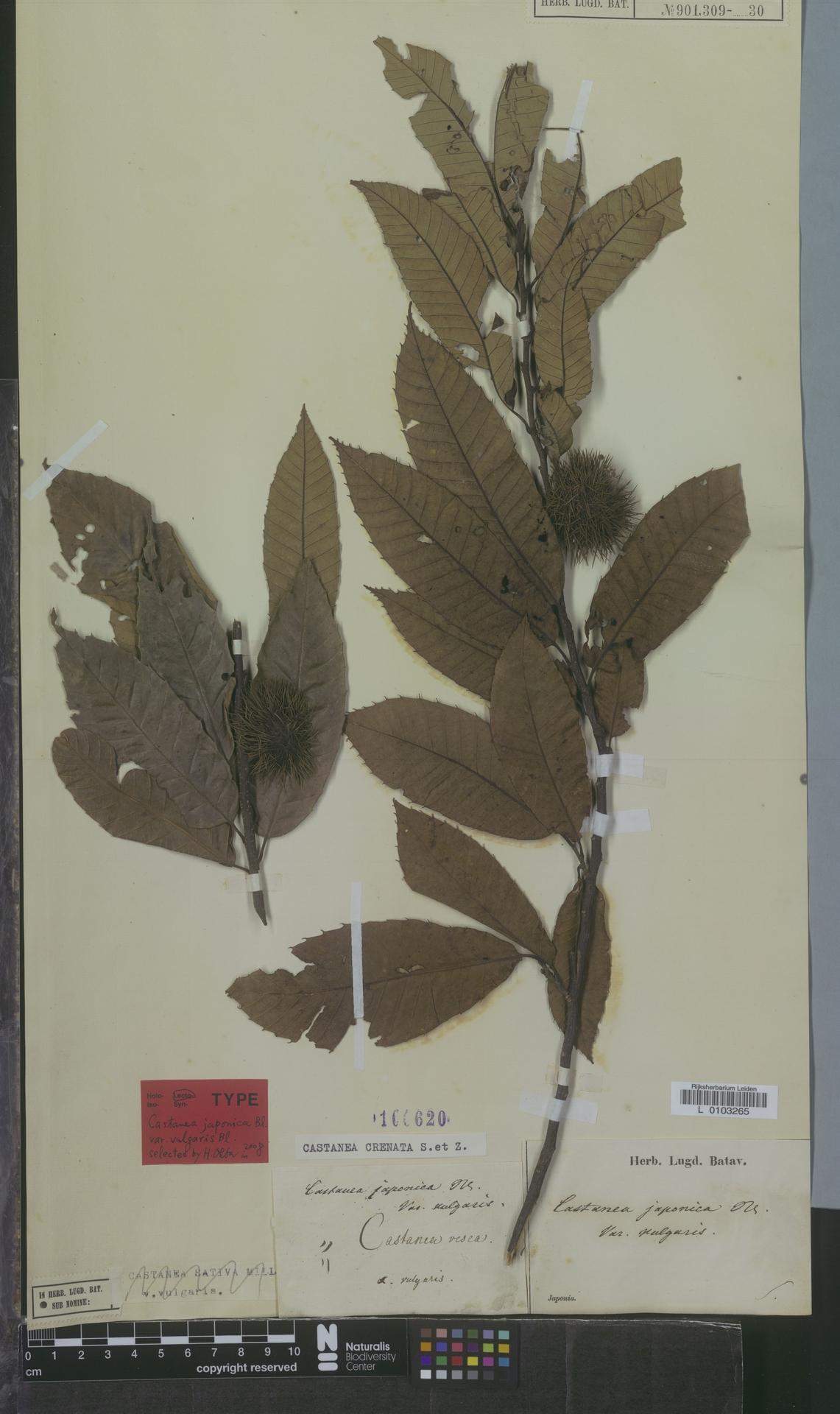 L  0103265 | Castanea crenata Siebold & Zucc.