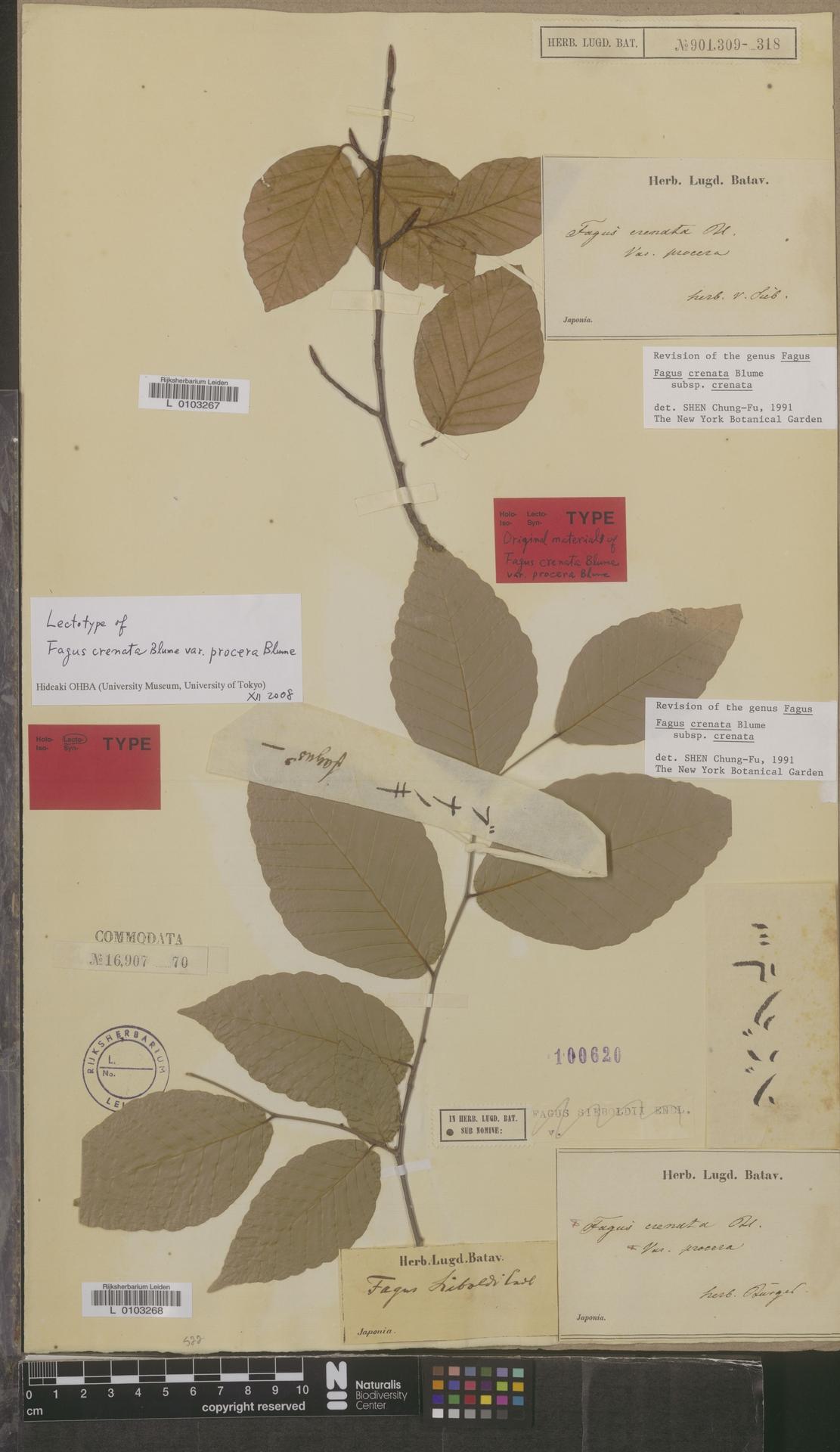 L  0103267 | Fagus crenata subsp. crenata