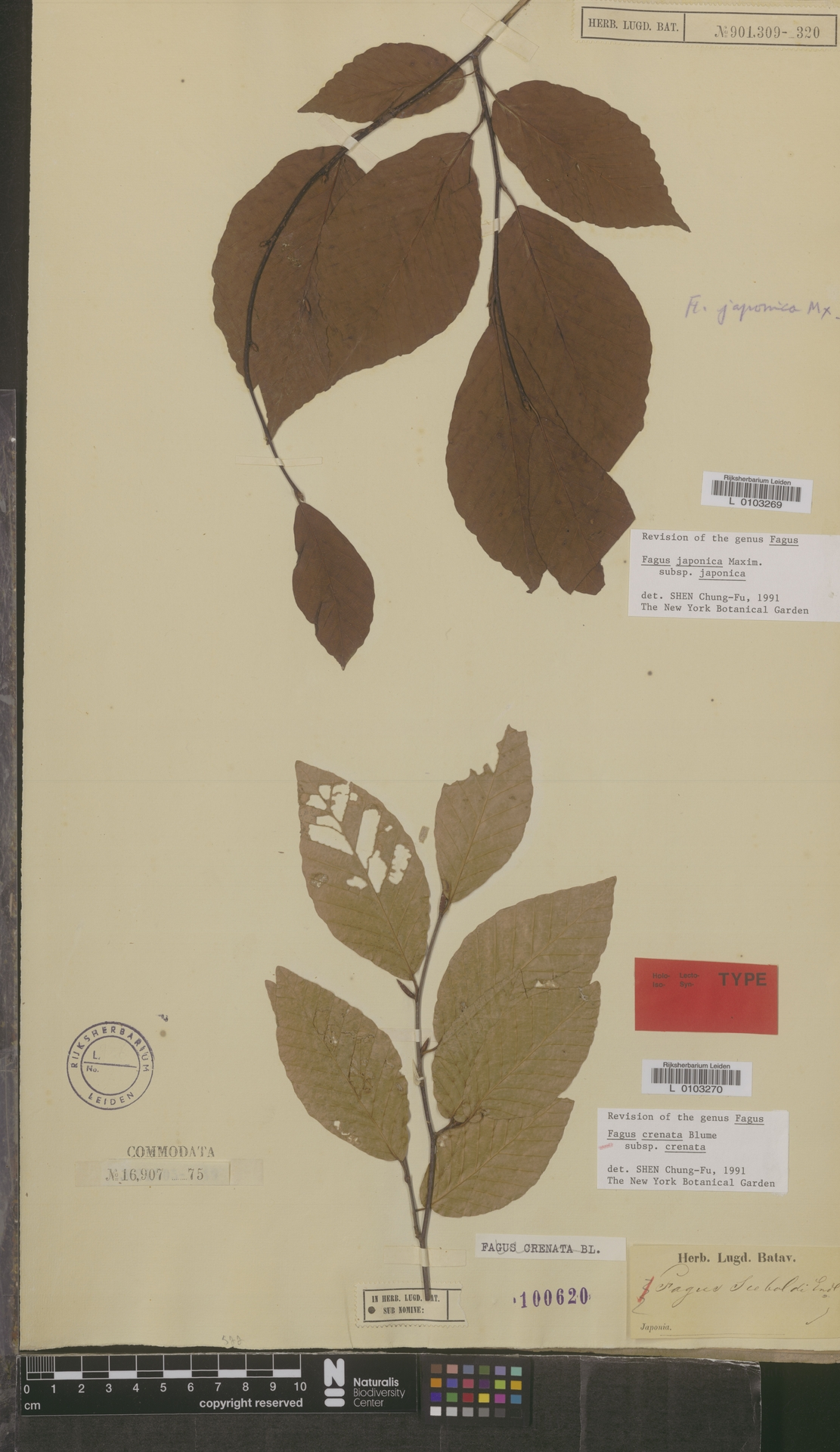 L  0103270 | Fagus crenata subsp. crenata