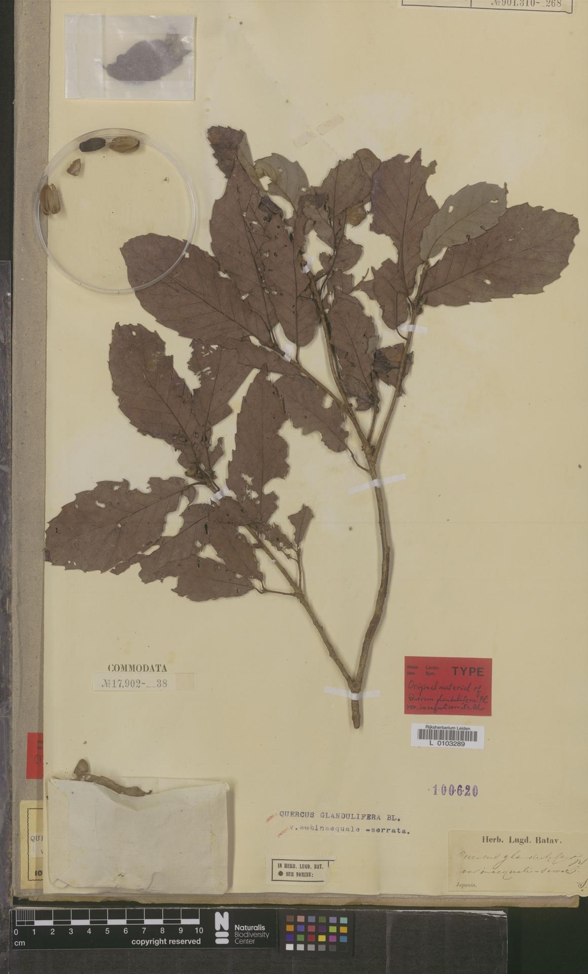 L  0103289 | Quercus glandulifera var. inaequaleserrata