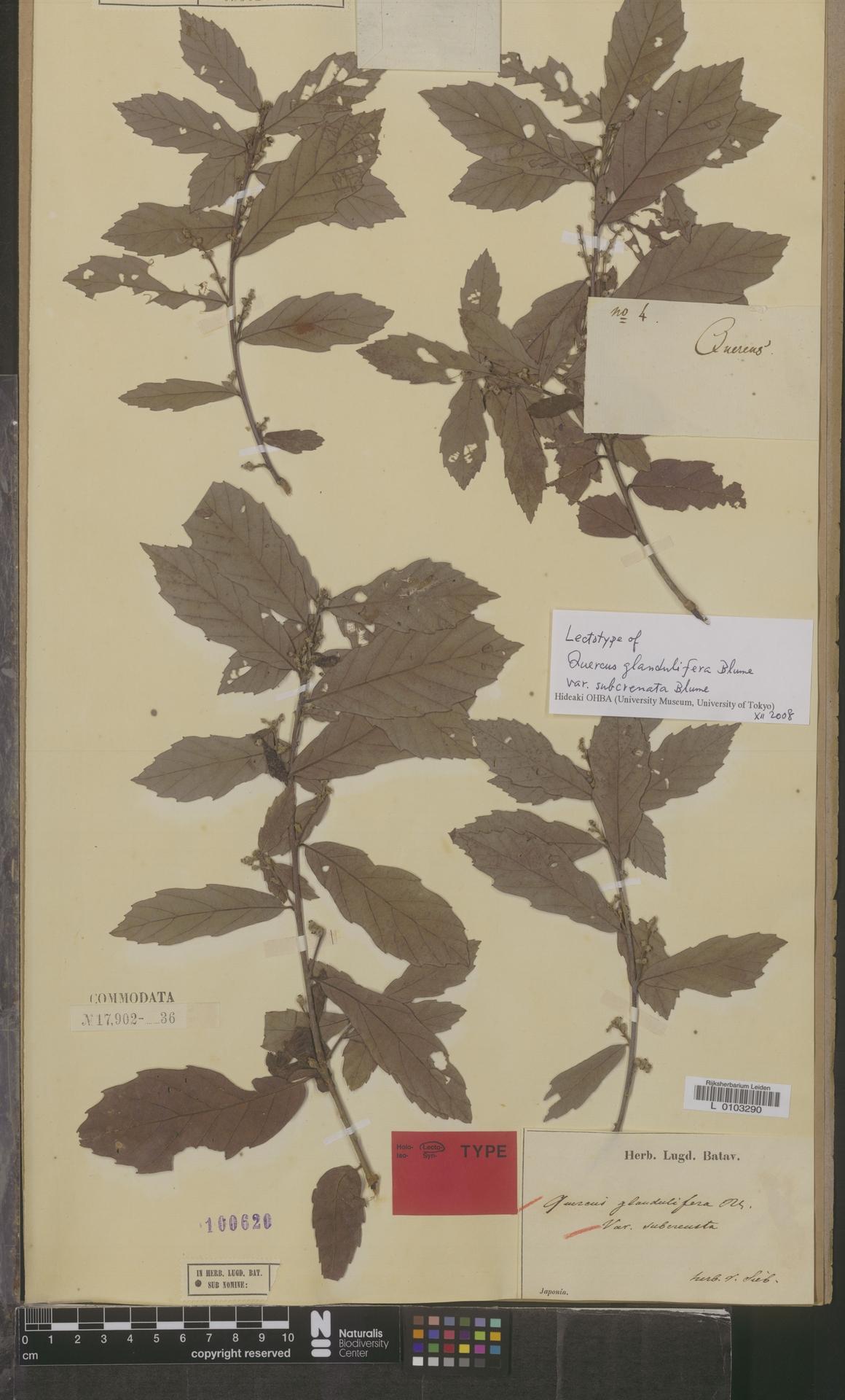 L  0103290 | Quercus glandulifera var. subcrenata Blume