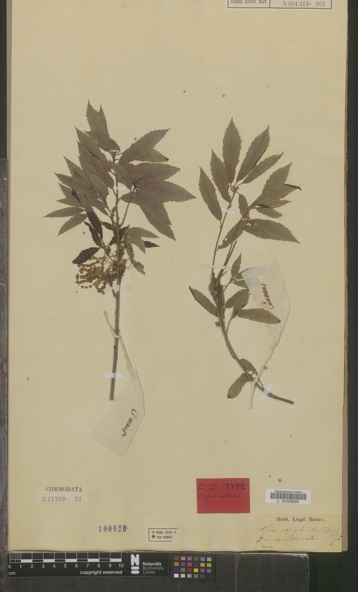 L  0103294 | Quercus glandulifera var. subattenuata