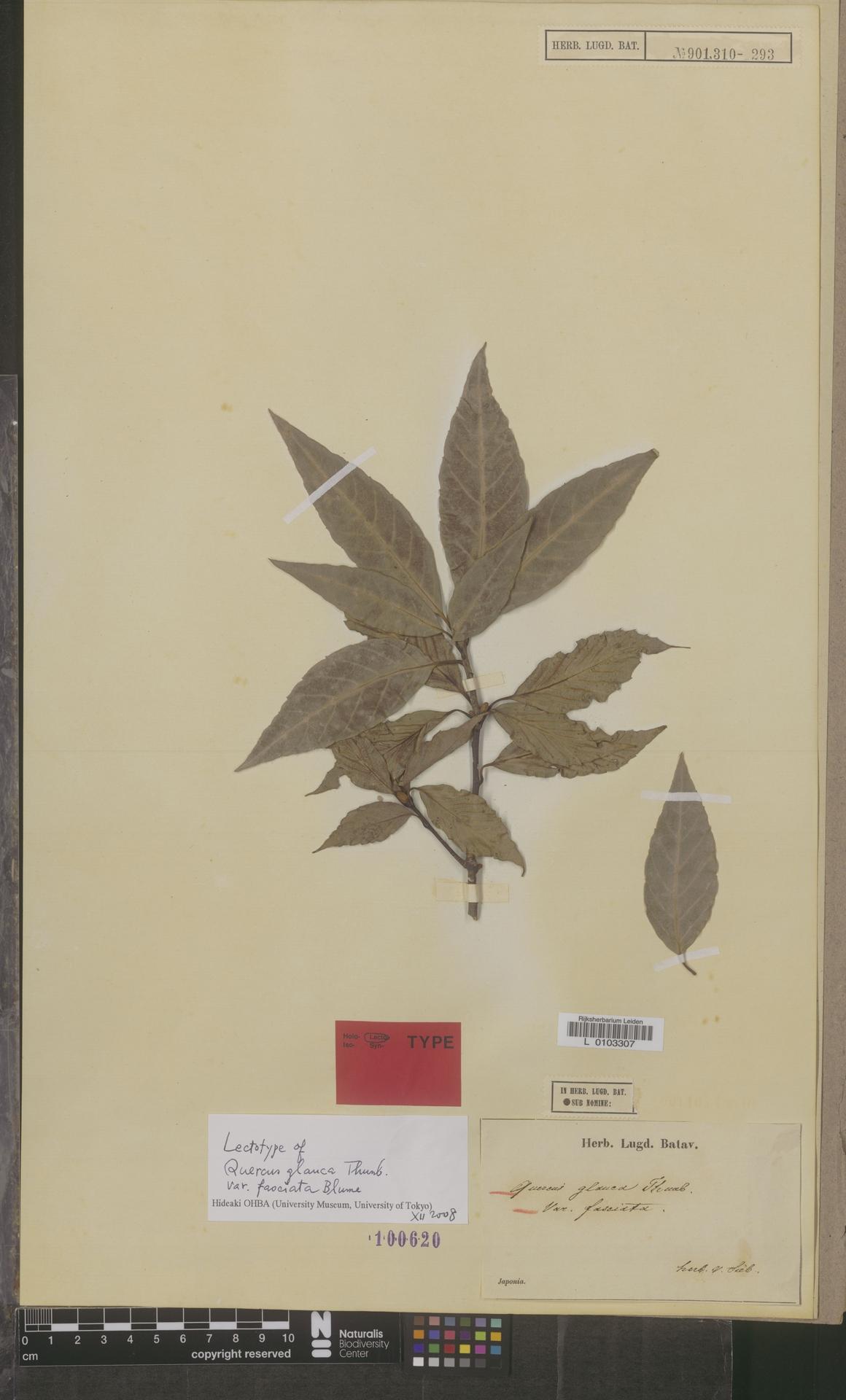 L  0103307 | Quercus glauca var. fasciata Blume