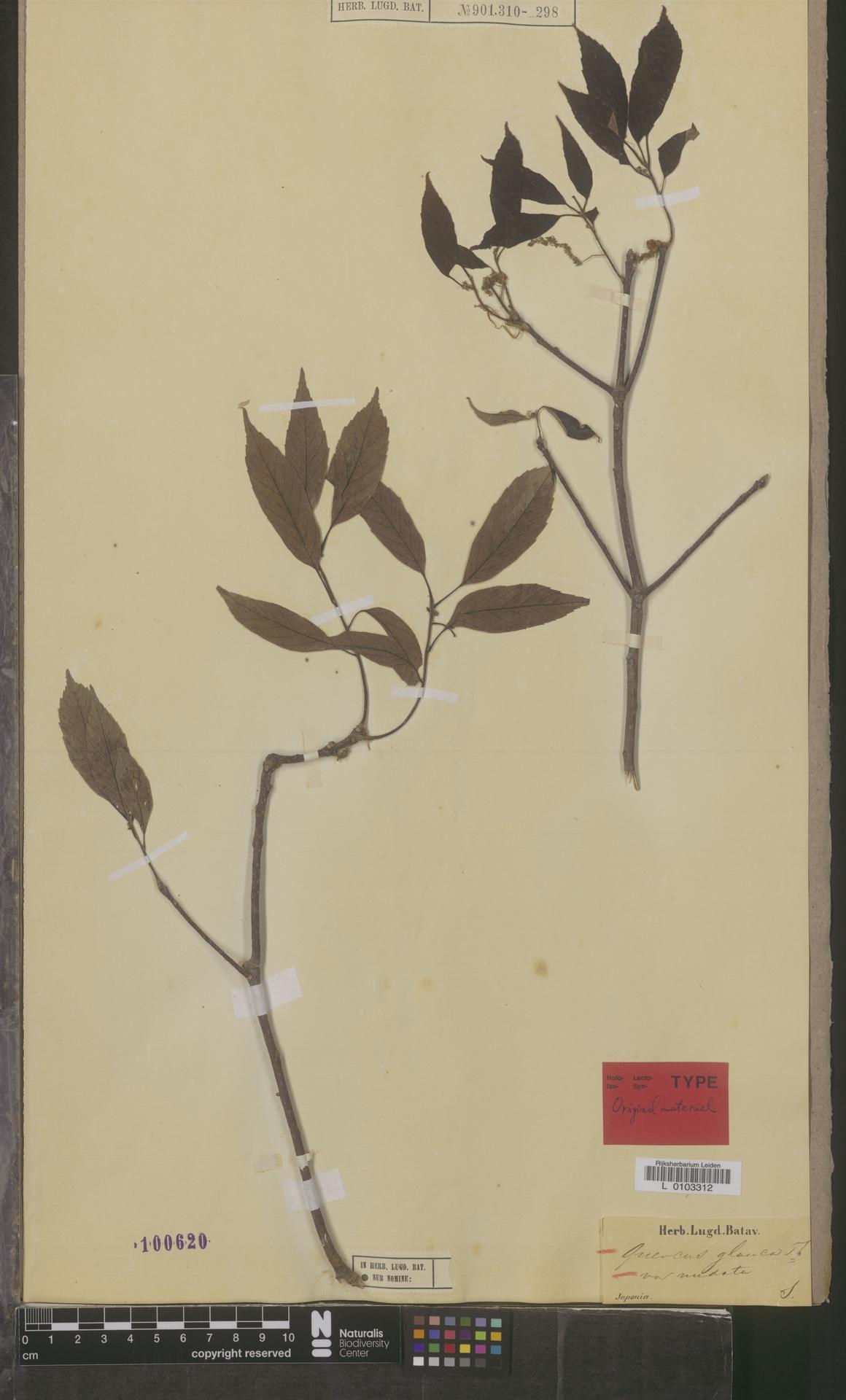 L  0103312 | Quercus glauca var. nudata Blume